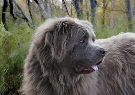 Кавказская овчарка - фото