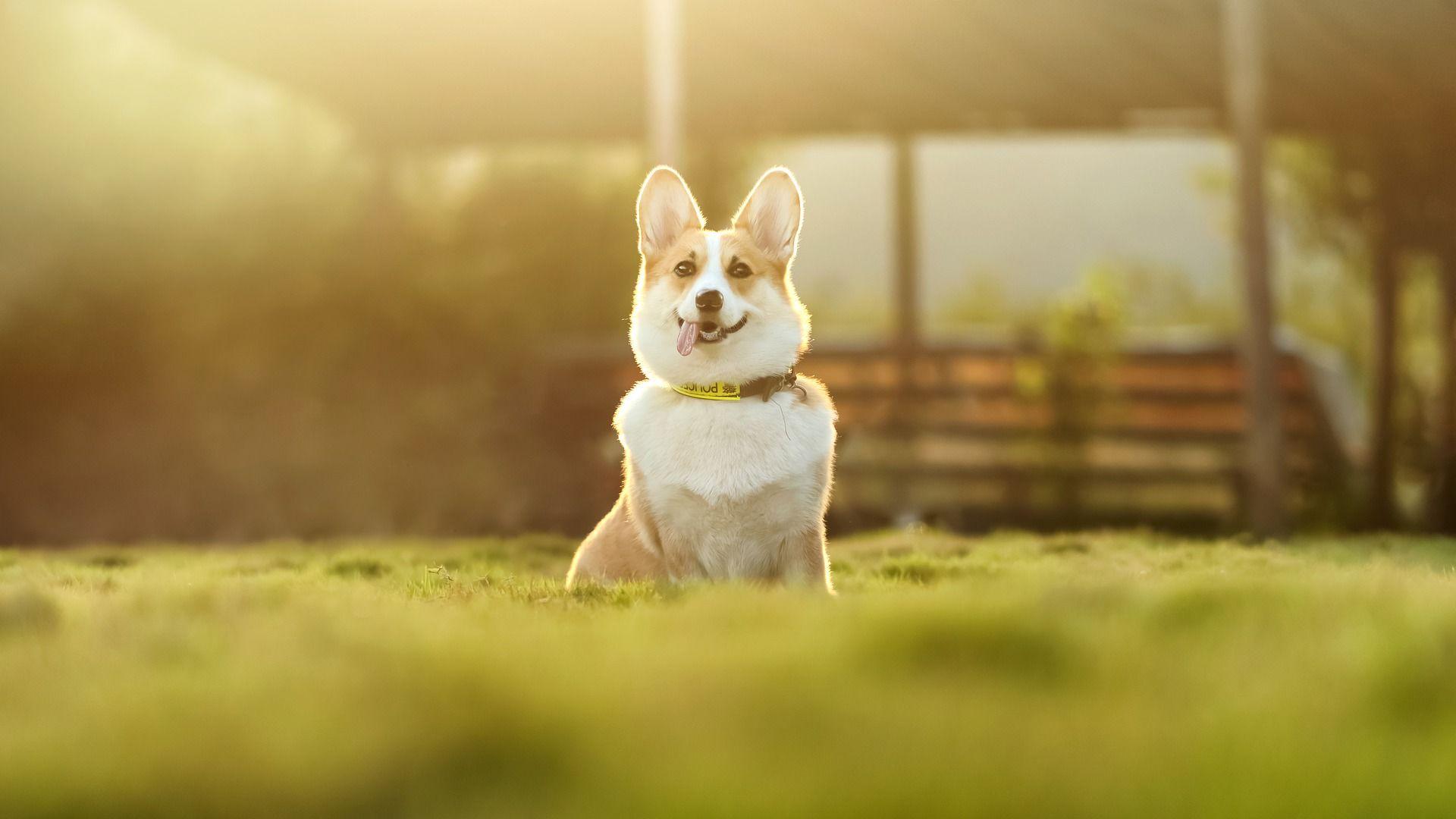 Порода собак - корги