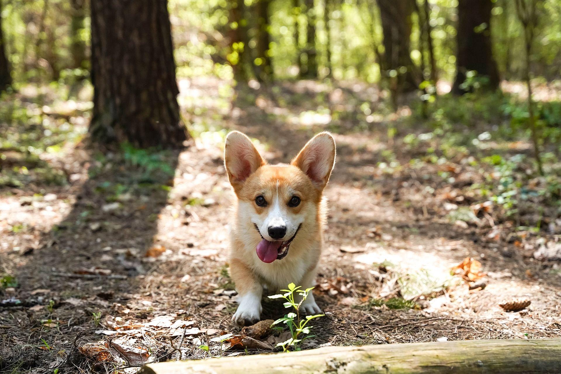 Порода собак корги - фото