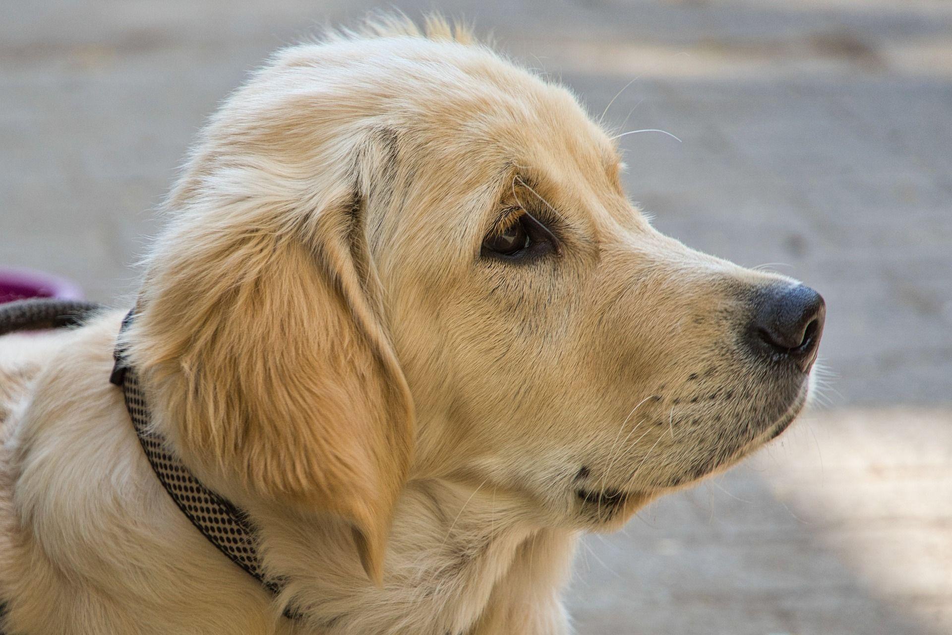 Фото собаки породы золотистый ретривер