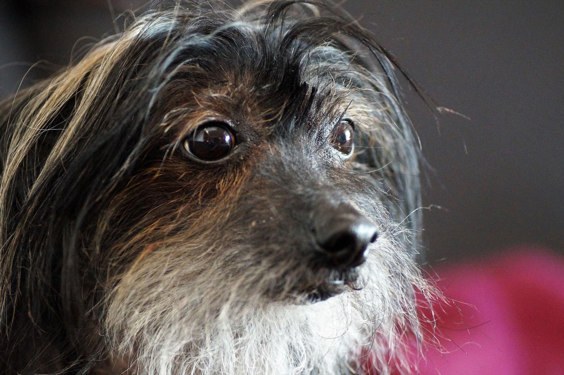 Фото щенка китайской хохлатой собаки