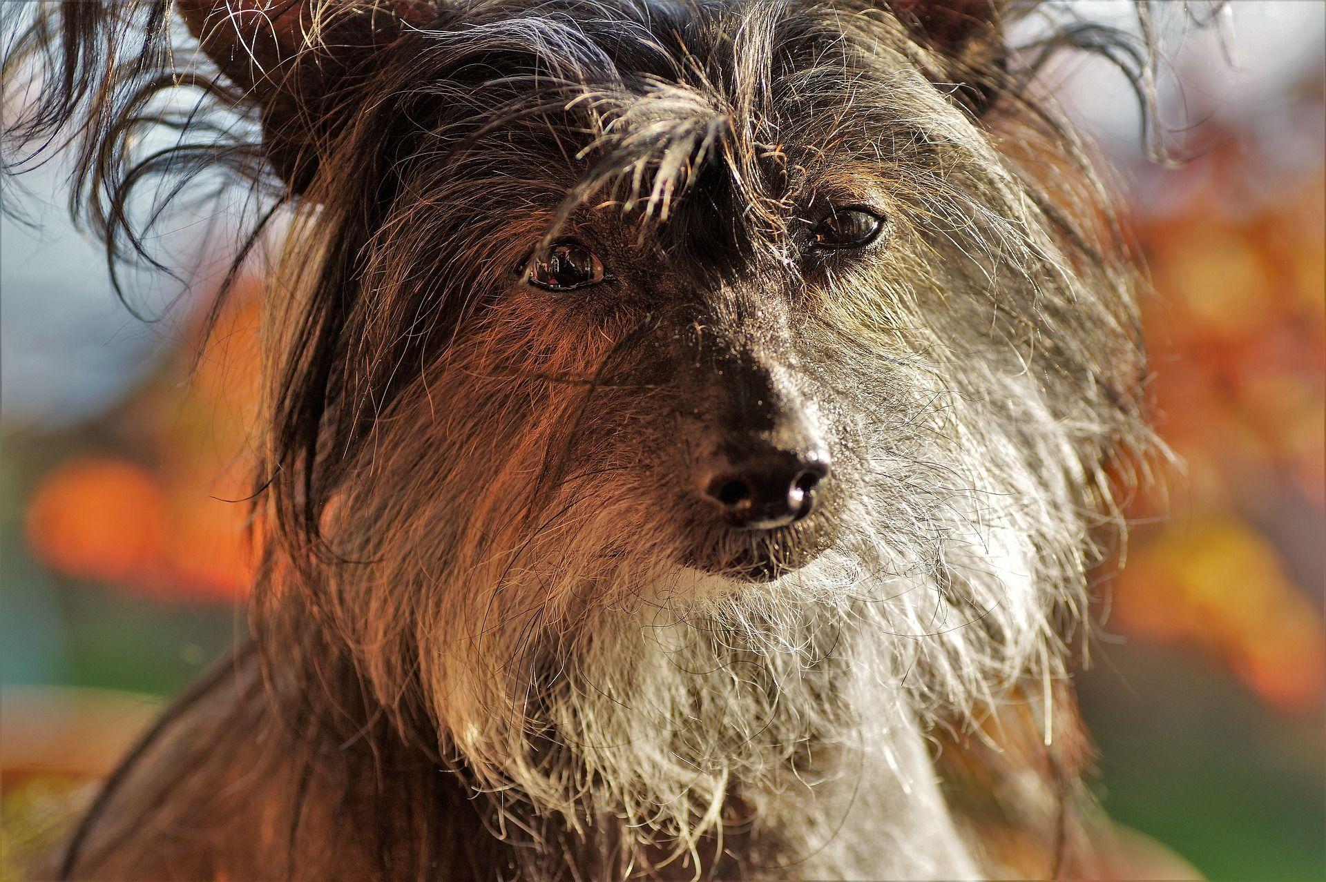 Фото китайской хохлатой собаки
