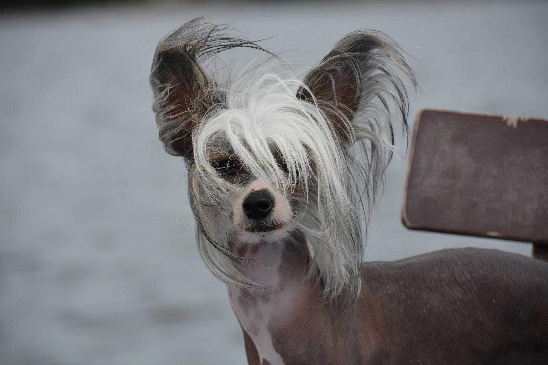 Голая китайскай хохлатая собака