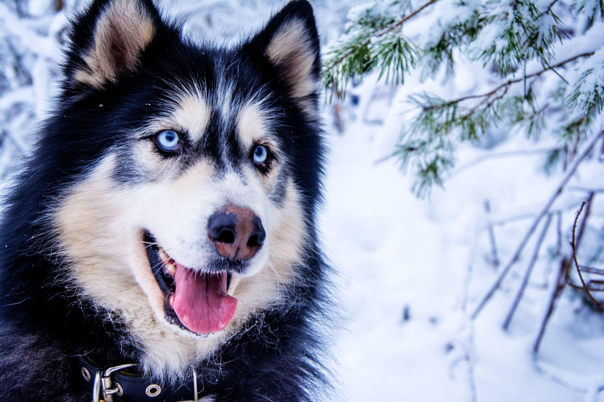 Порода собак - сибирский хаски
