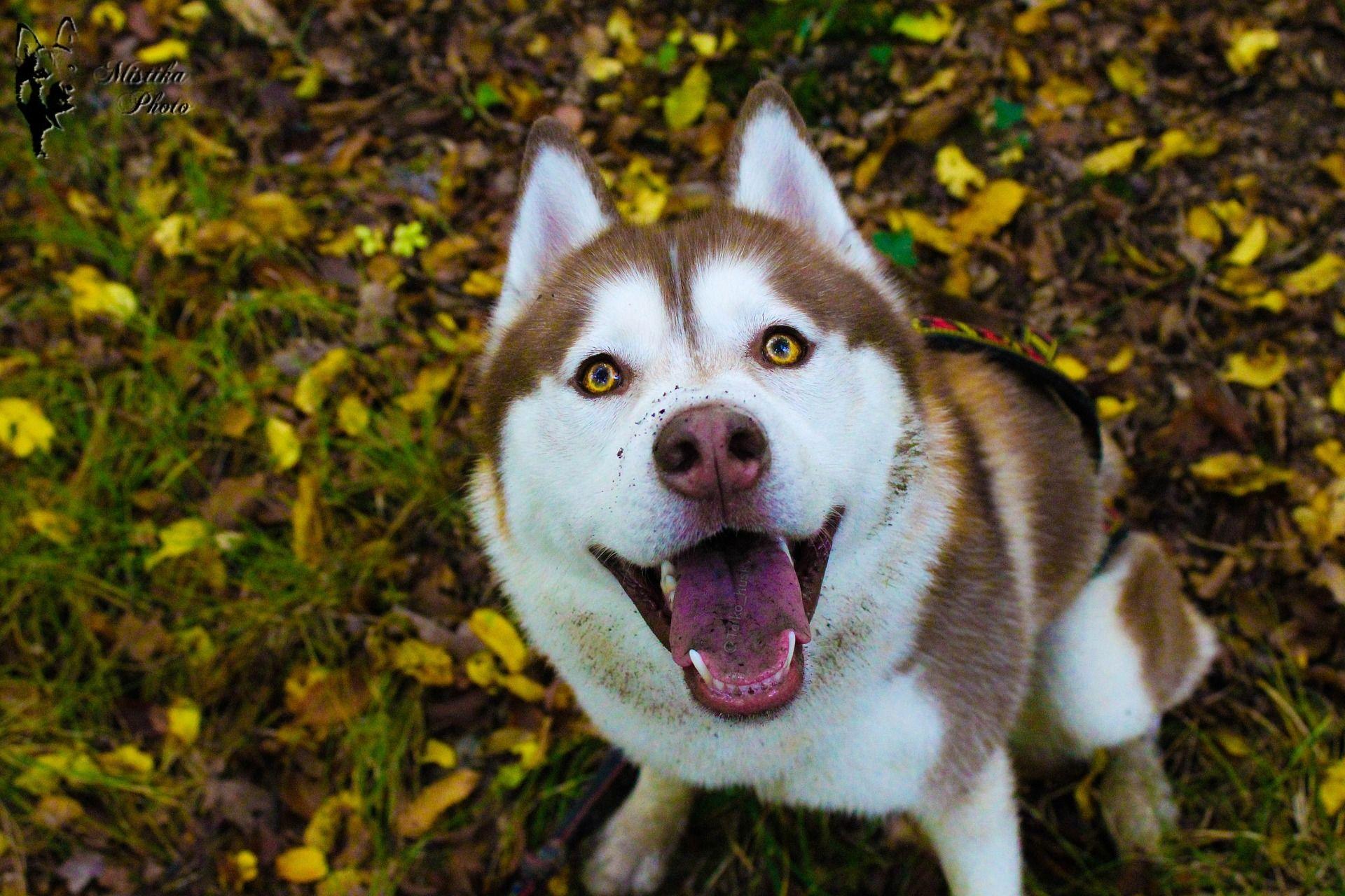 Скачать фото и картинки собак хаски