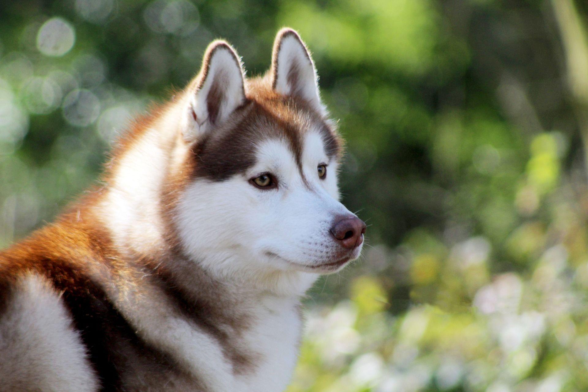 Фото сибирской хаски с красивыми глазами