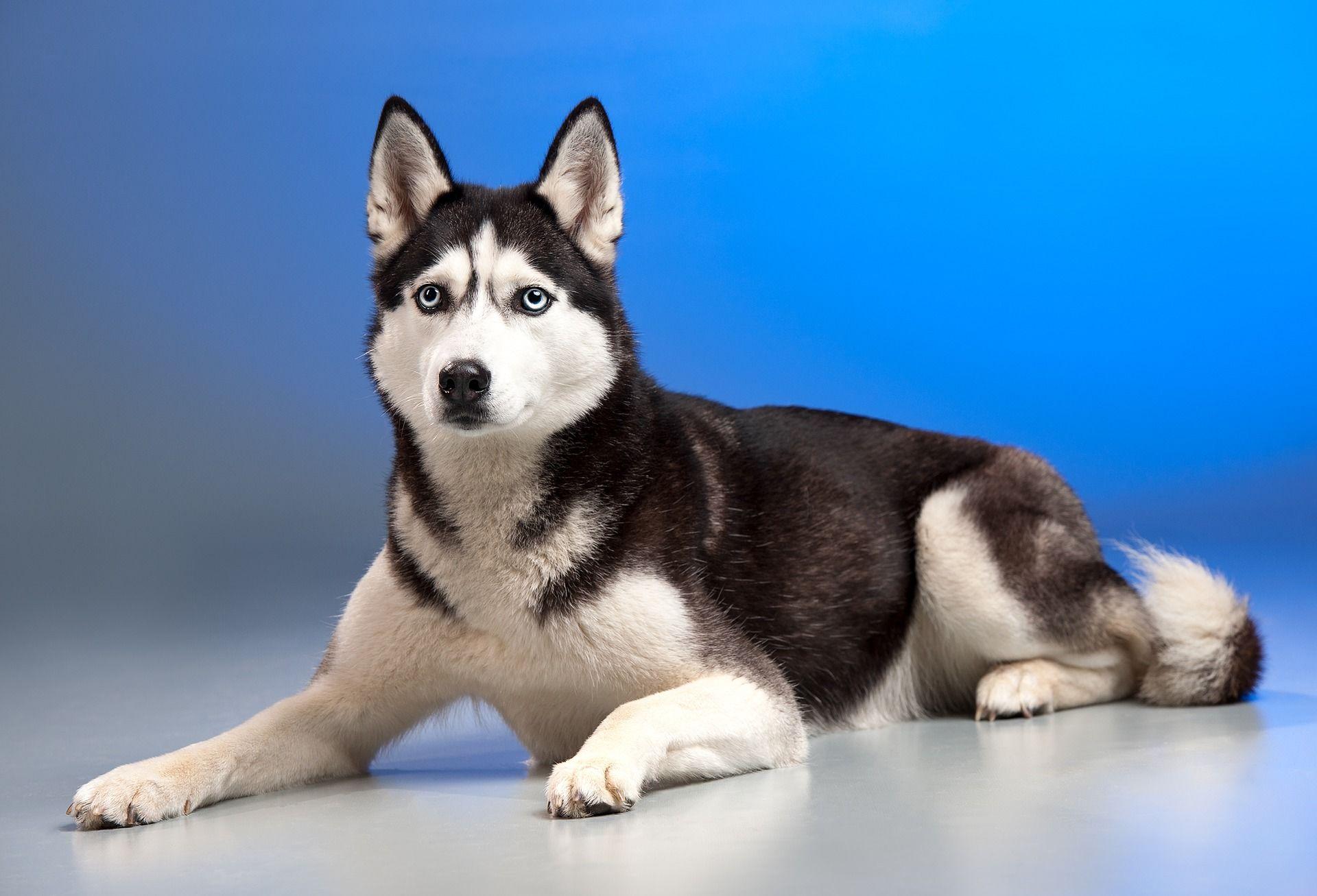 Скачать картинки собак породы хаски