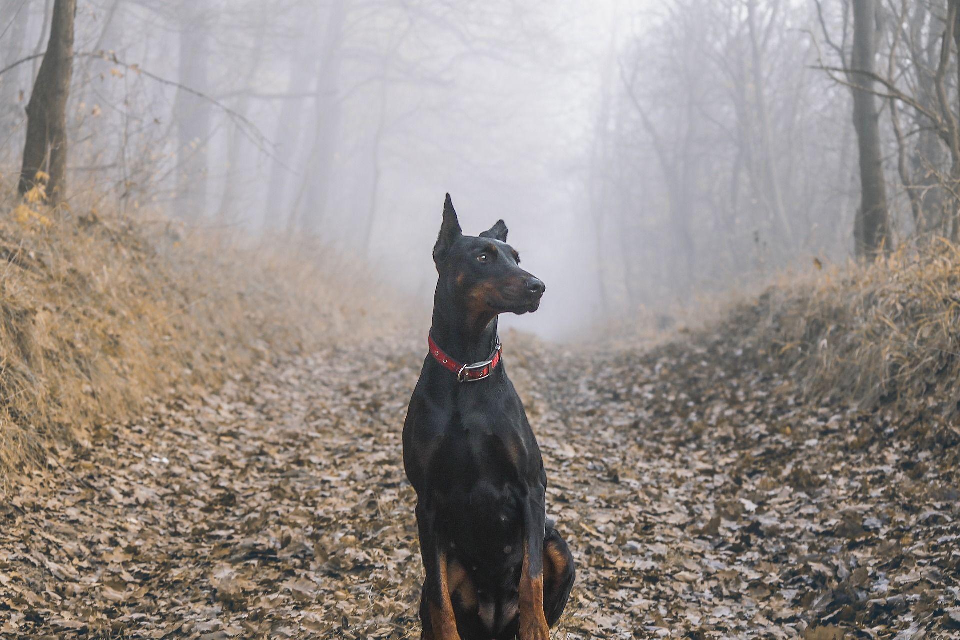 Фото породы собак - доберман