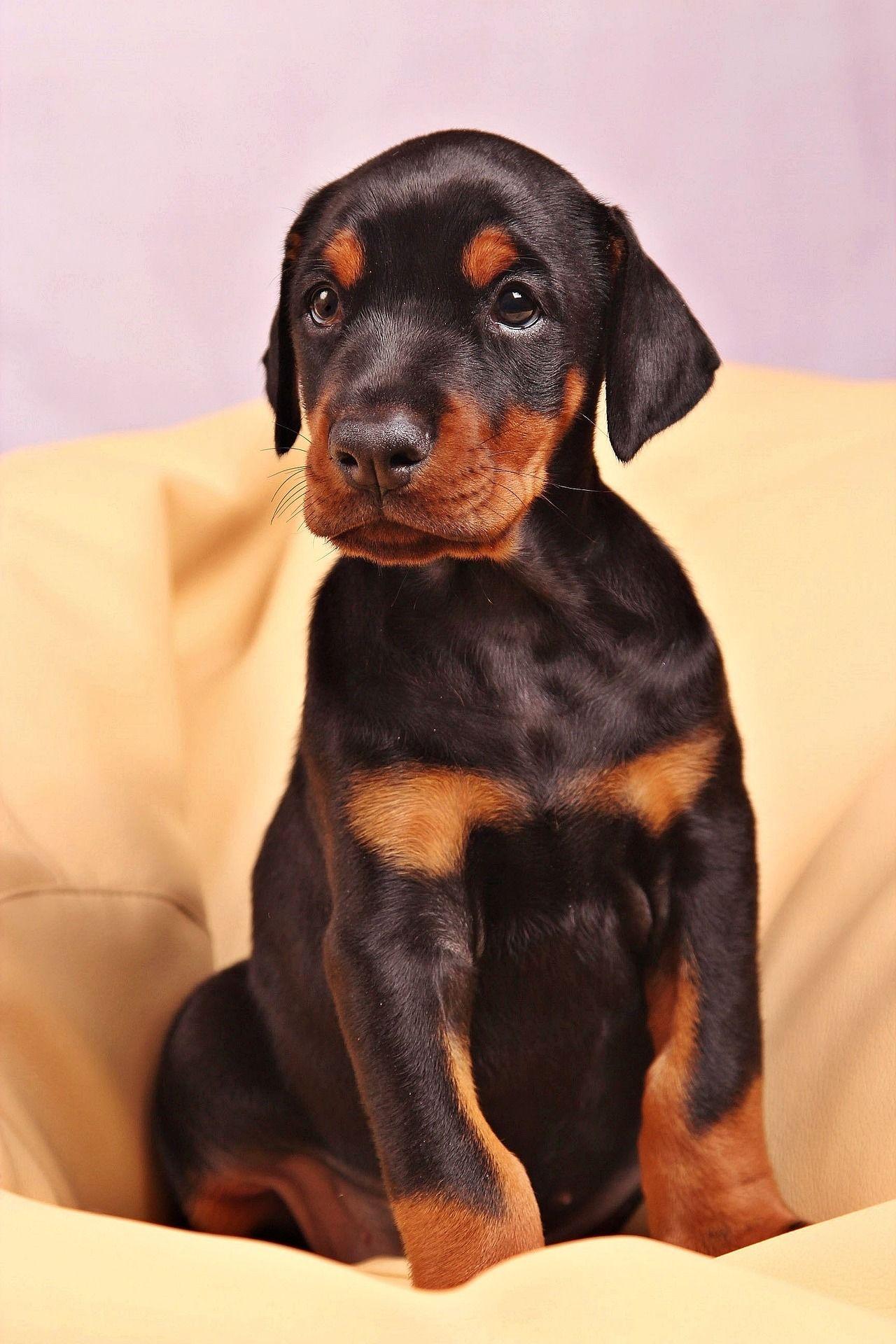 Фото щенка добермана бесплатно