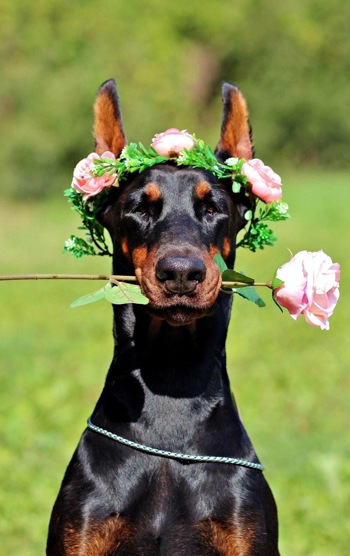 Фото стройных и сильных собак доберманов