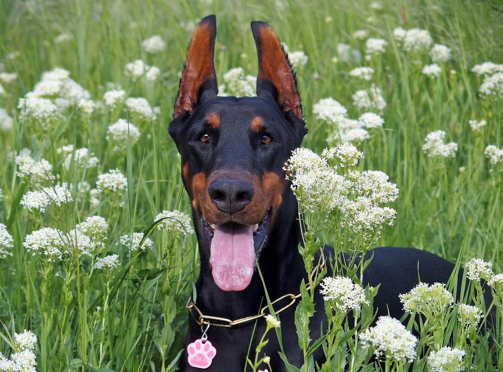 Собака доберман - пинчер