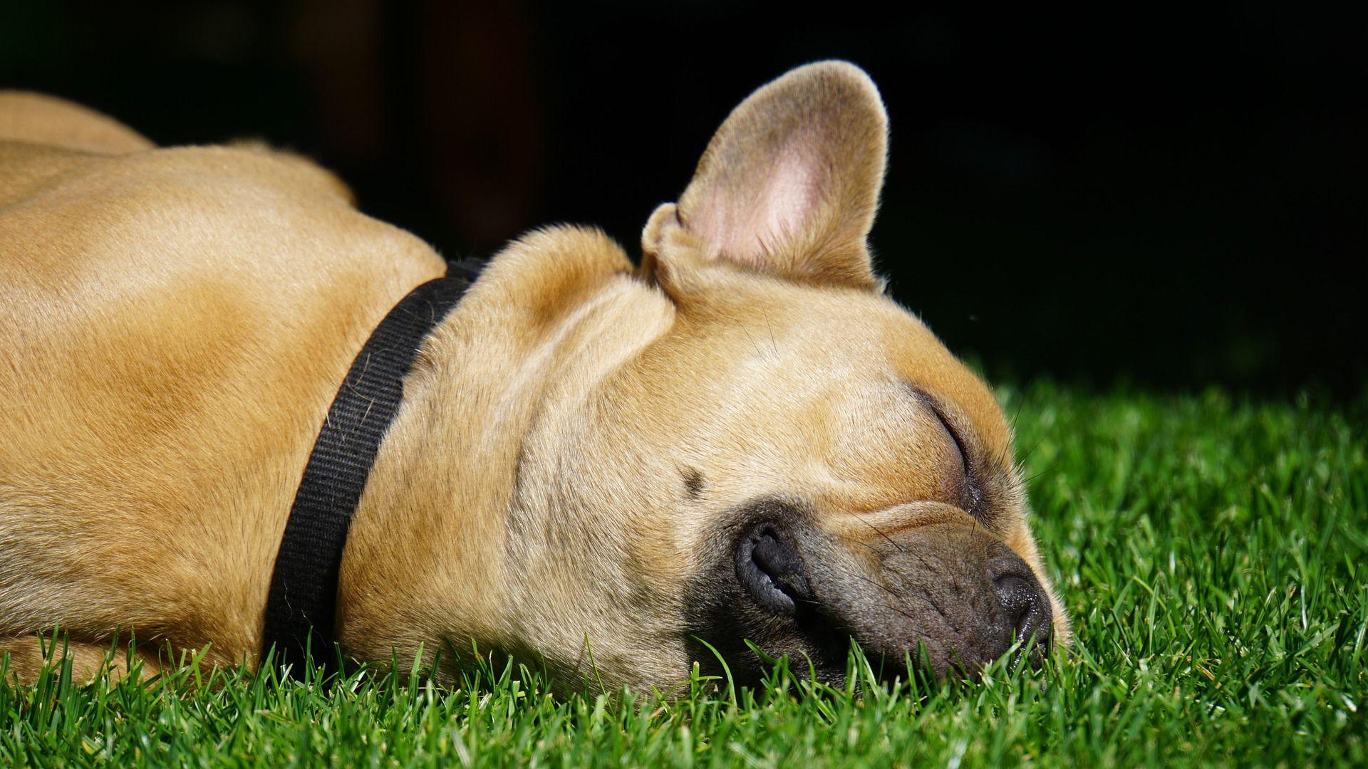 Собака - французский бульдог