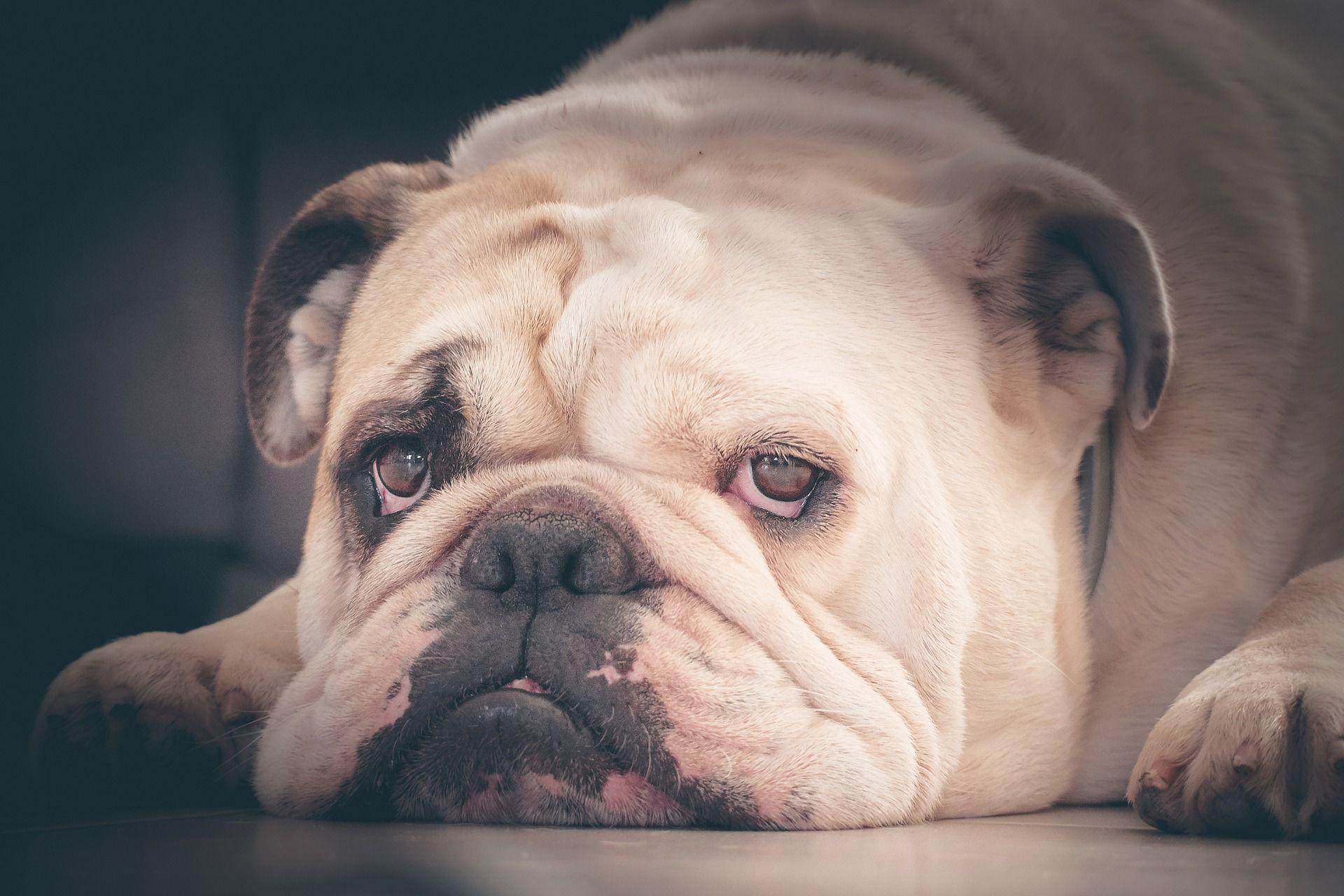 Порода собаки - английский бульдог