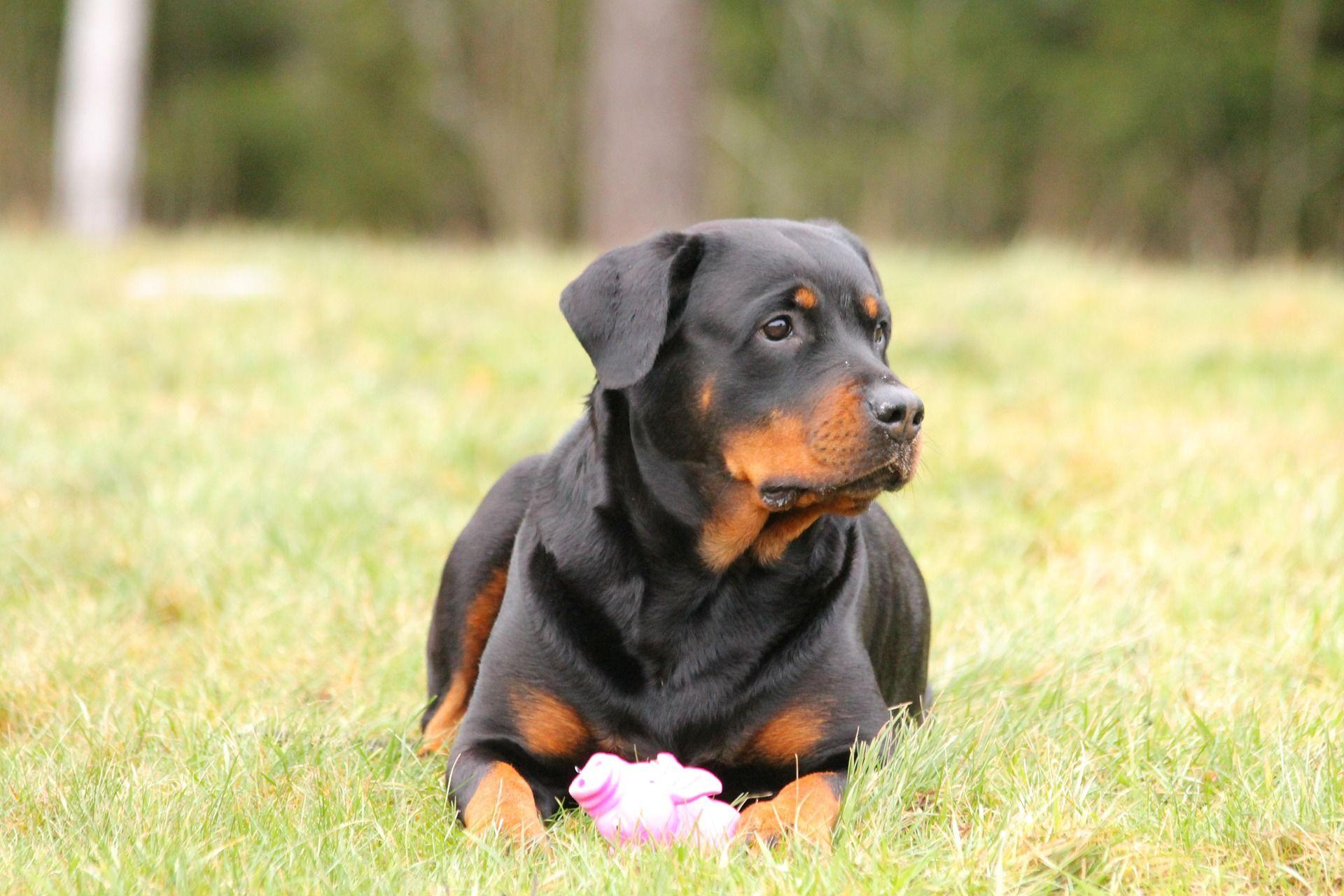Ротвейлер, фото собаки бесплатно