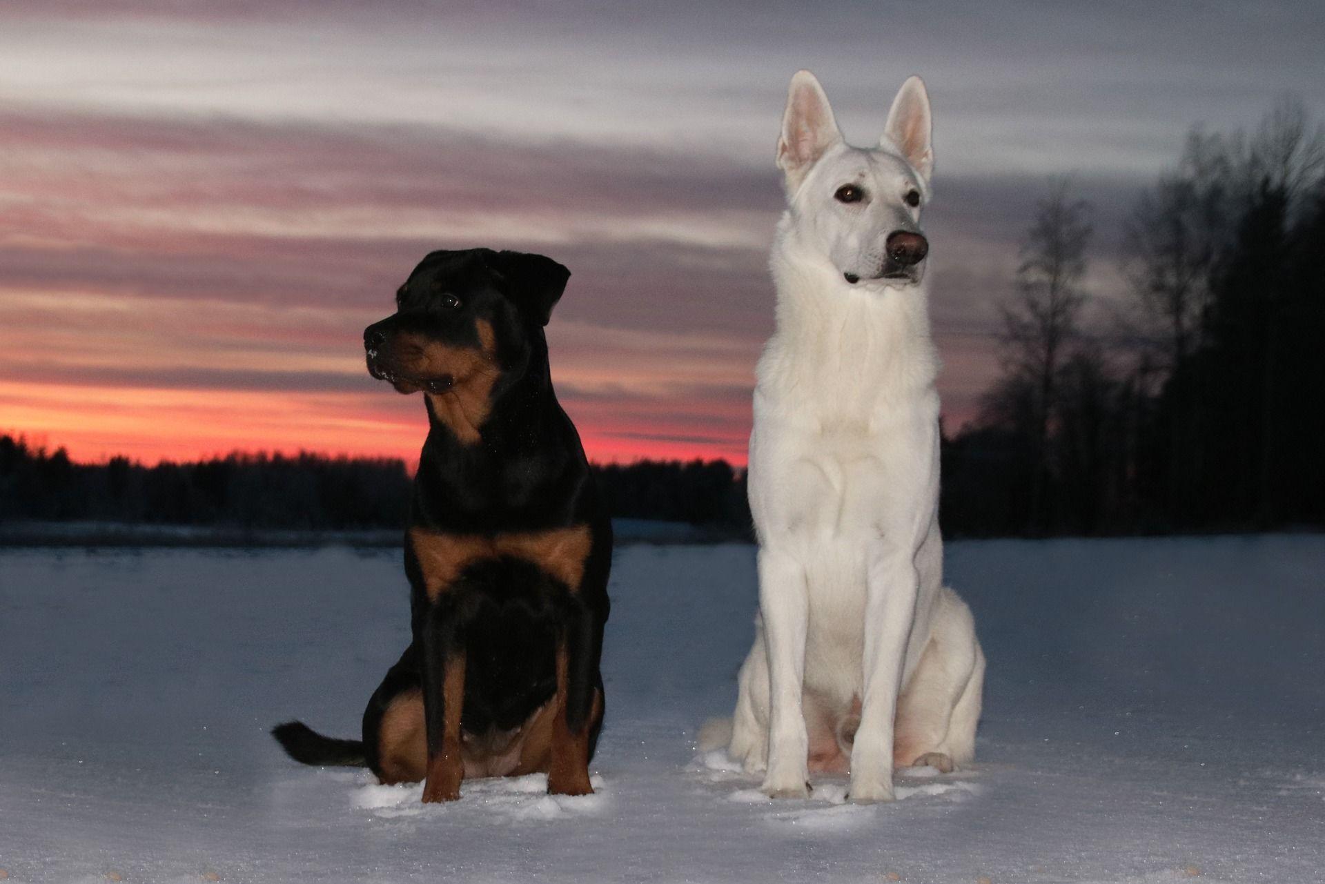 Порода собаки ротвейлер