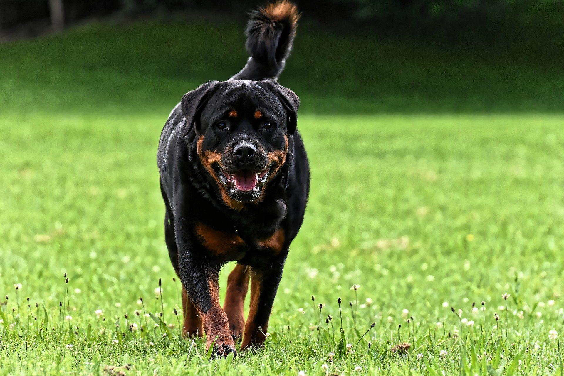 Фото щенка ротвейлера бесплатно