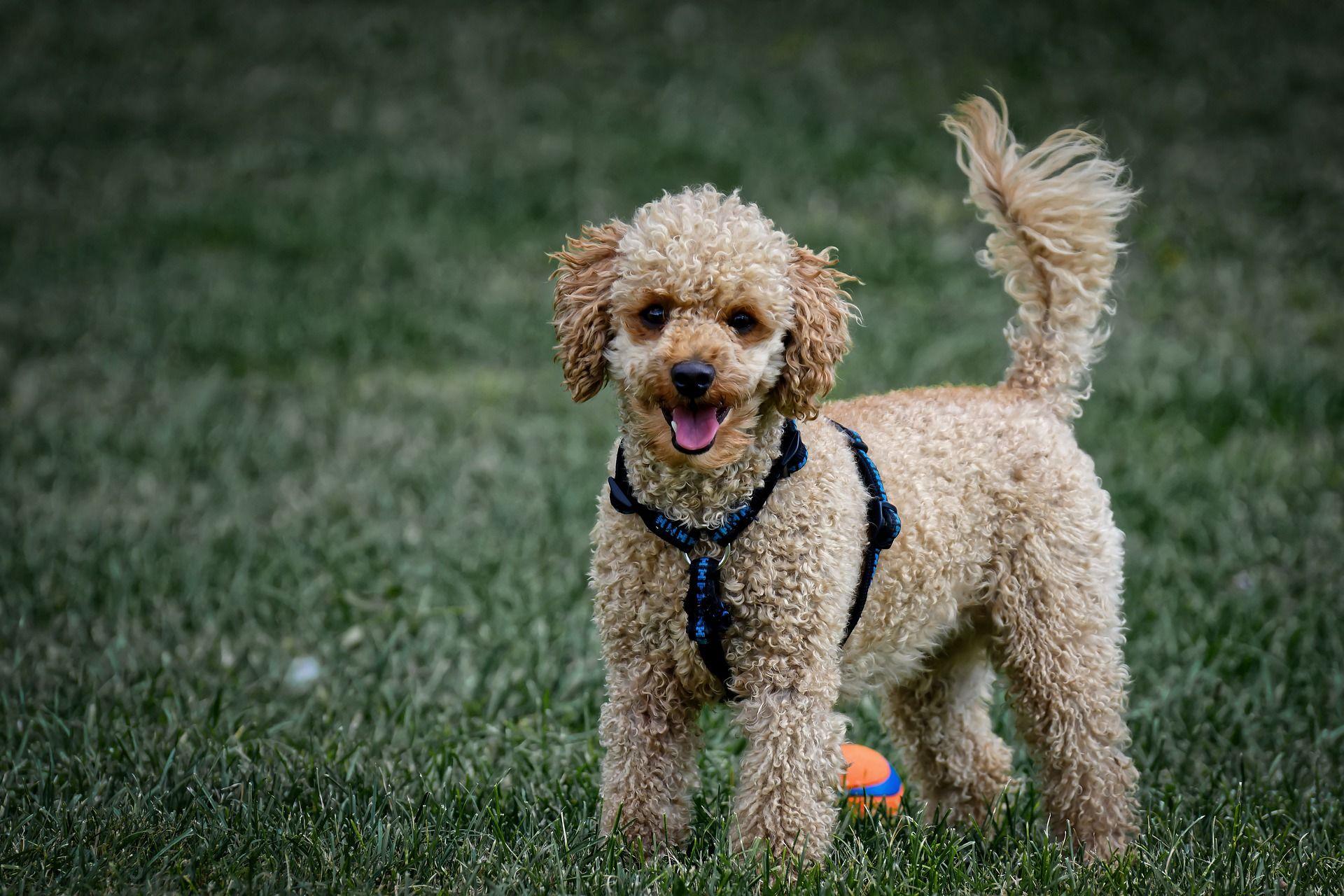 Порода собаки - белый пудель