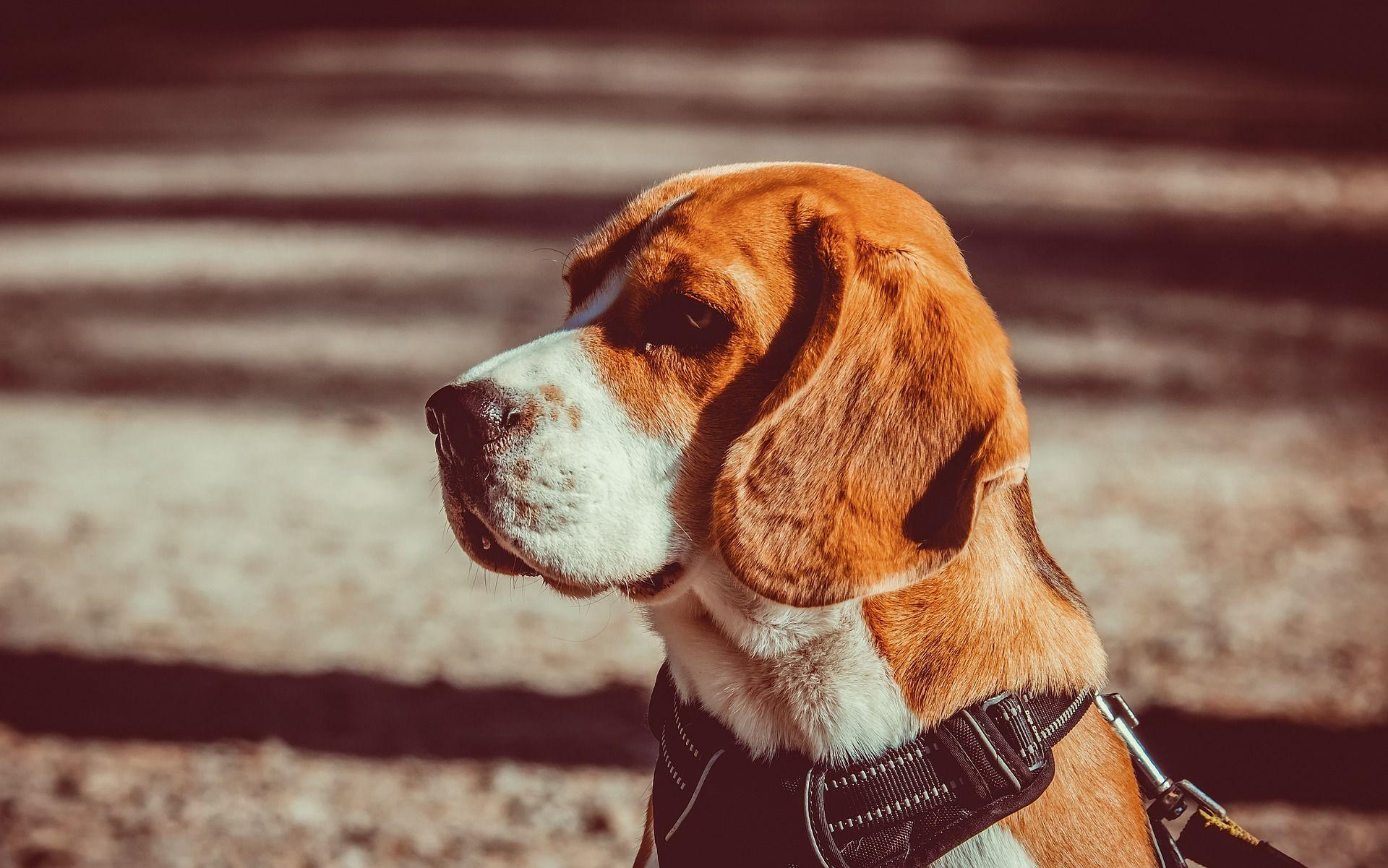 Купить фото собаки бигль