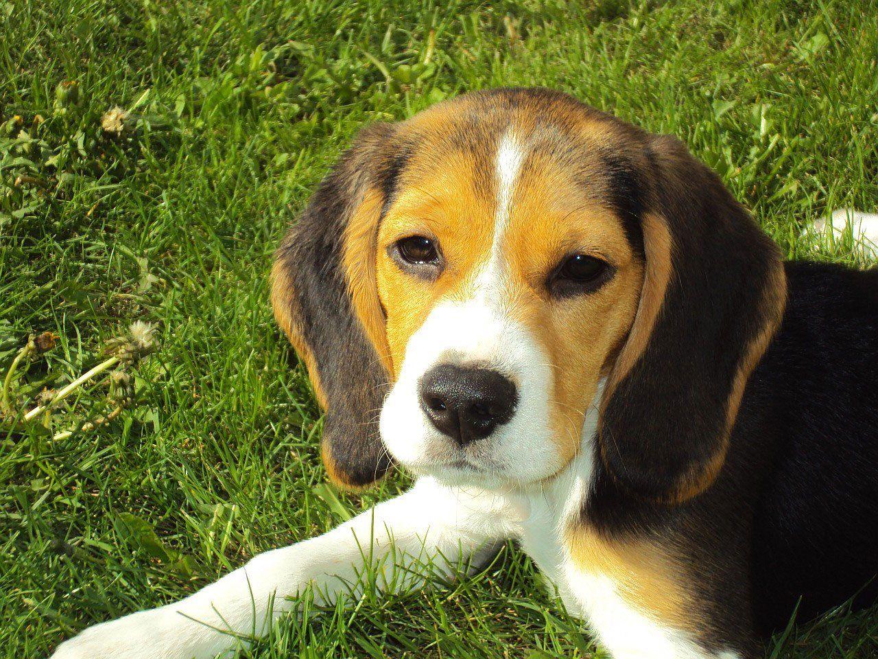 Бесплатно картинки породы собак бигль