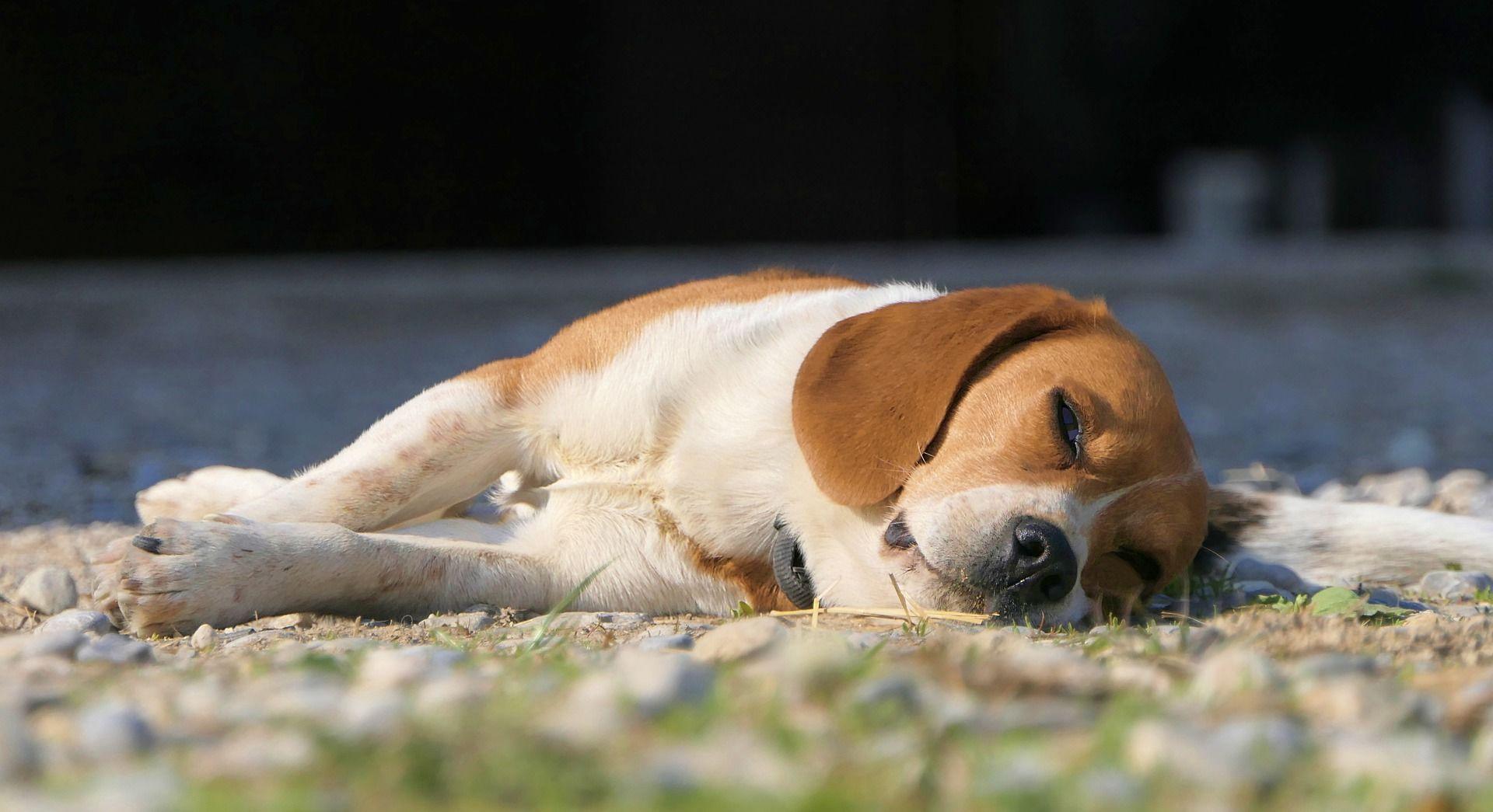 Фото собаки - бигль