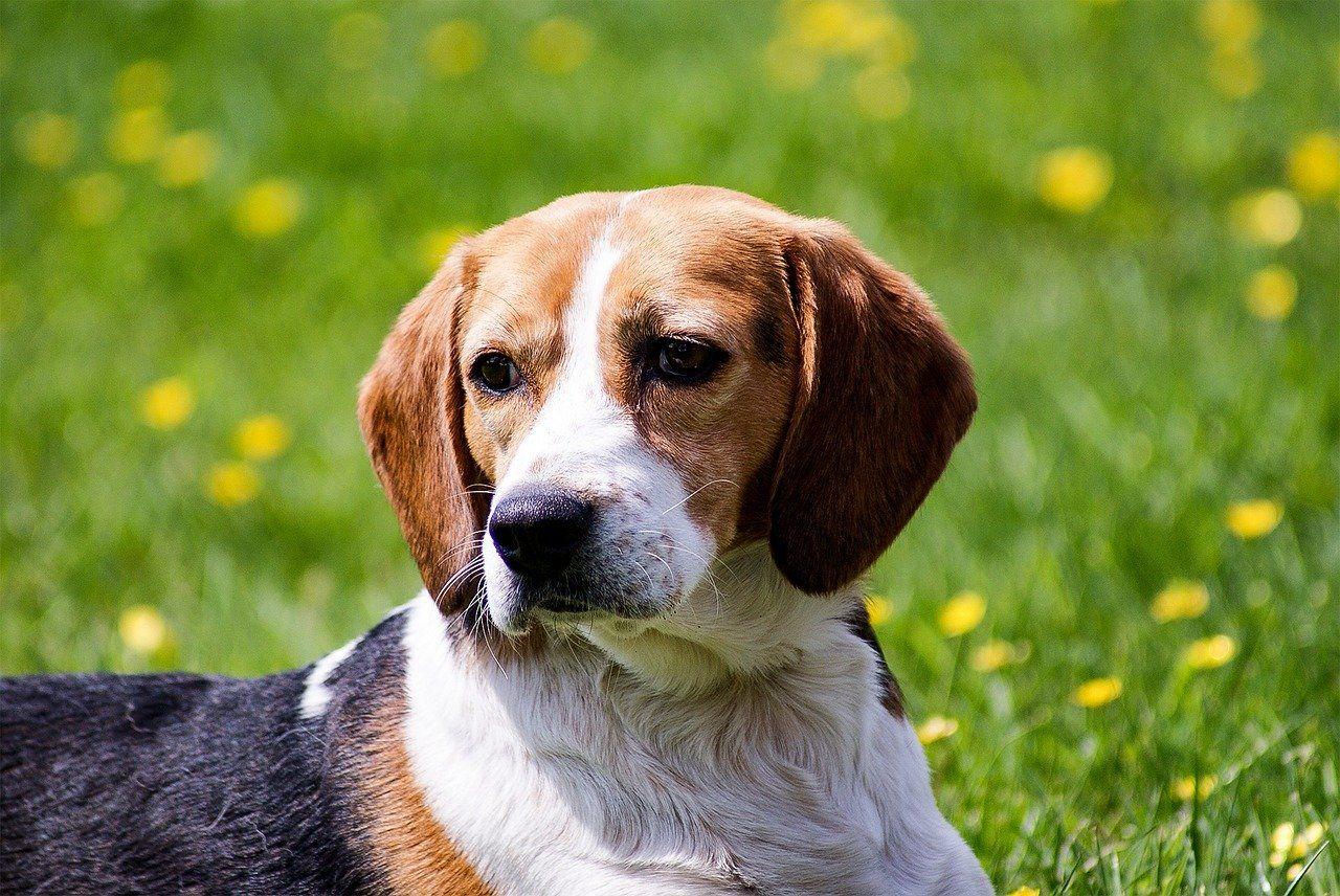 Порода собаки - бигль