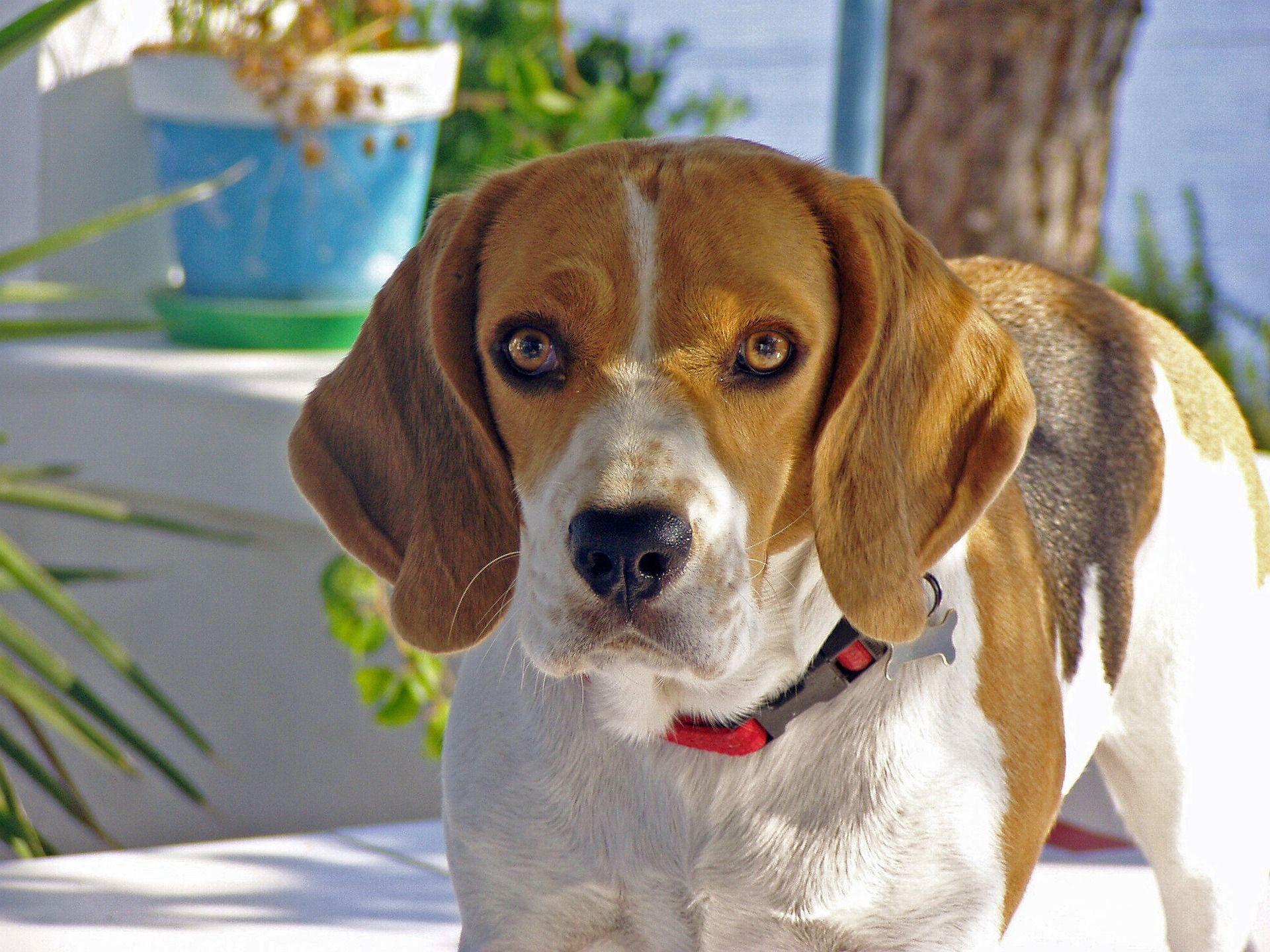 Фото щенка породы бигль, бесплатно