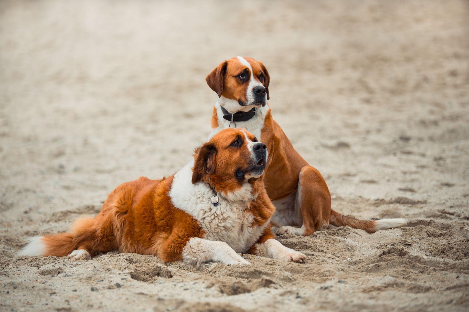 Собаки породы сенбернар