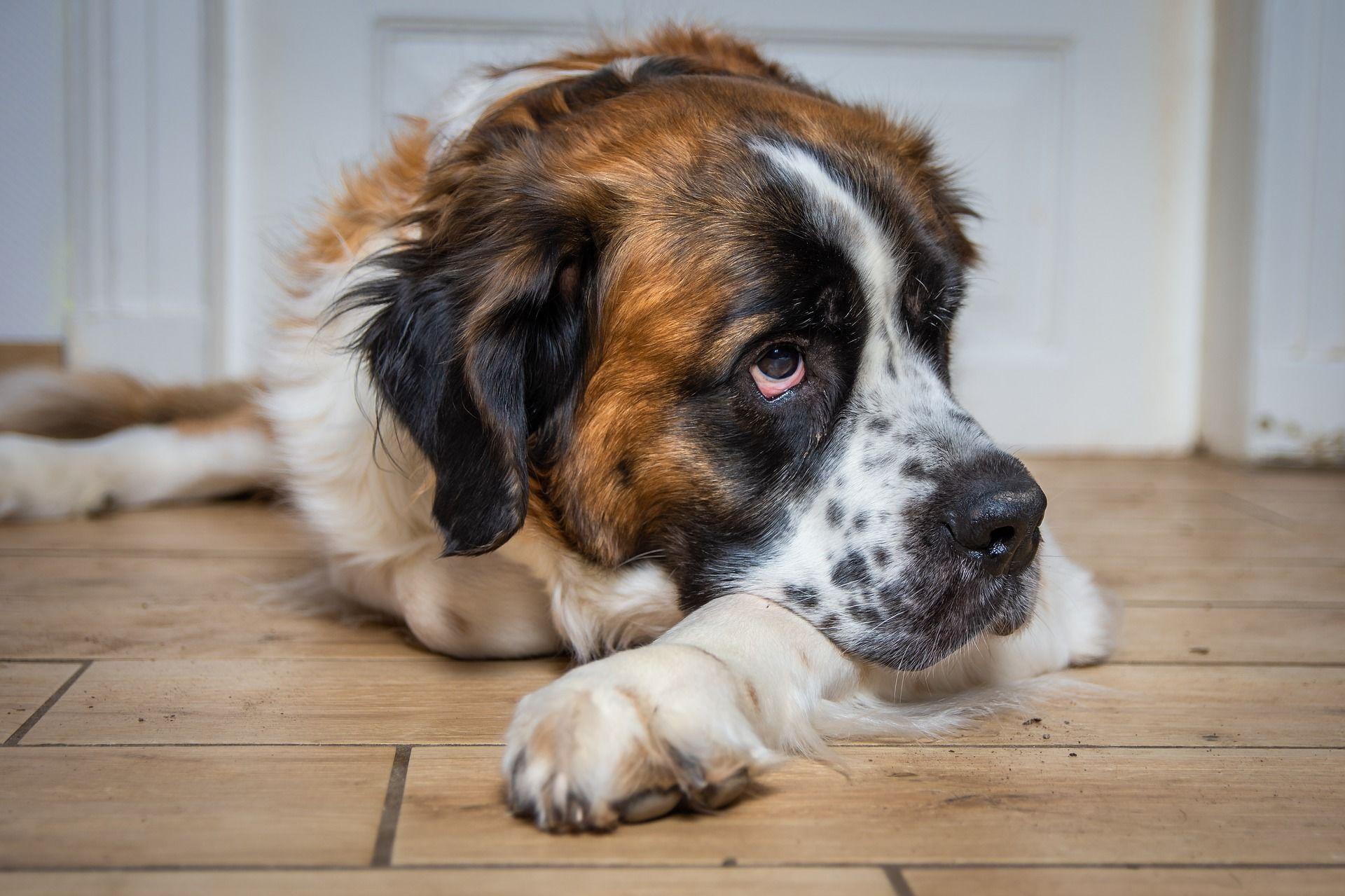Фото собаки сенбернар