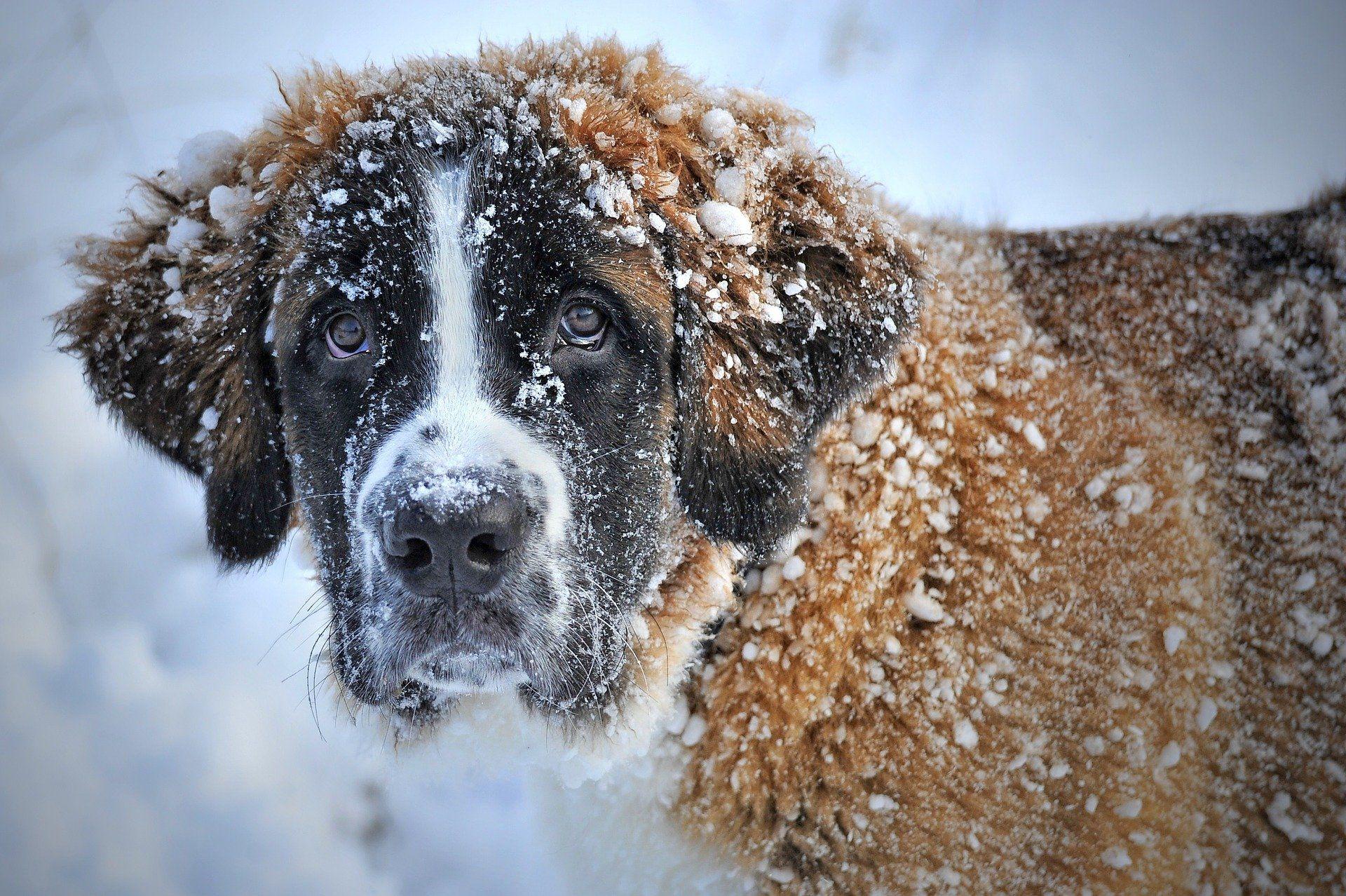 Картинка породы крупных собак - сенбернар