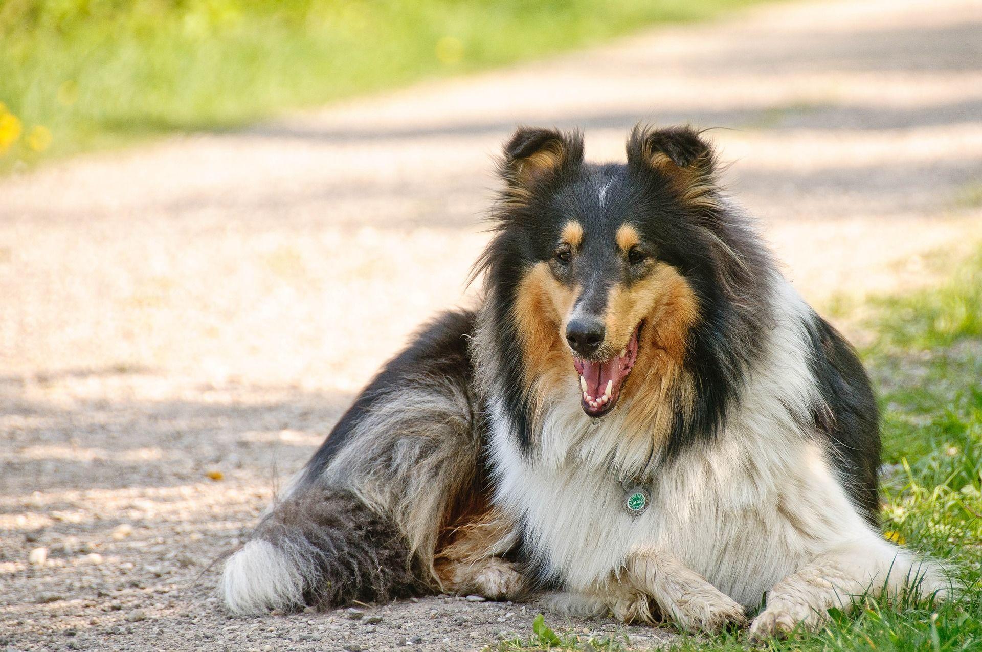 Фото собаки колли шелти