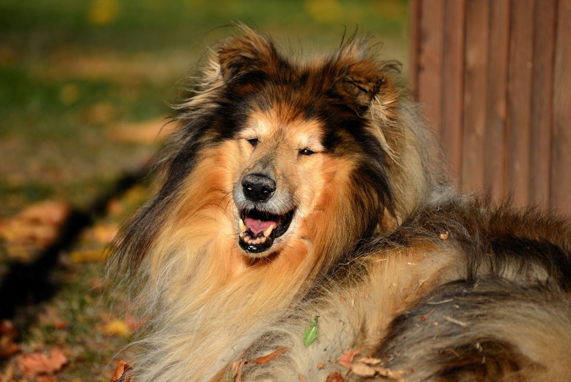 Фото собаки колли