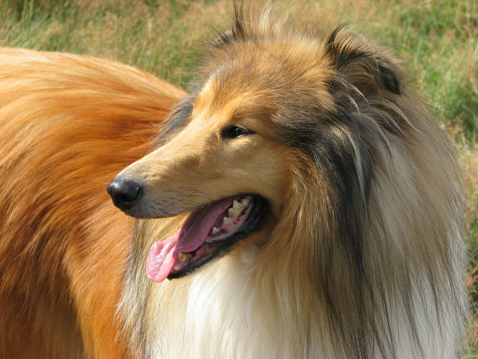 Лучшая охотничья собака - колли