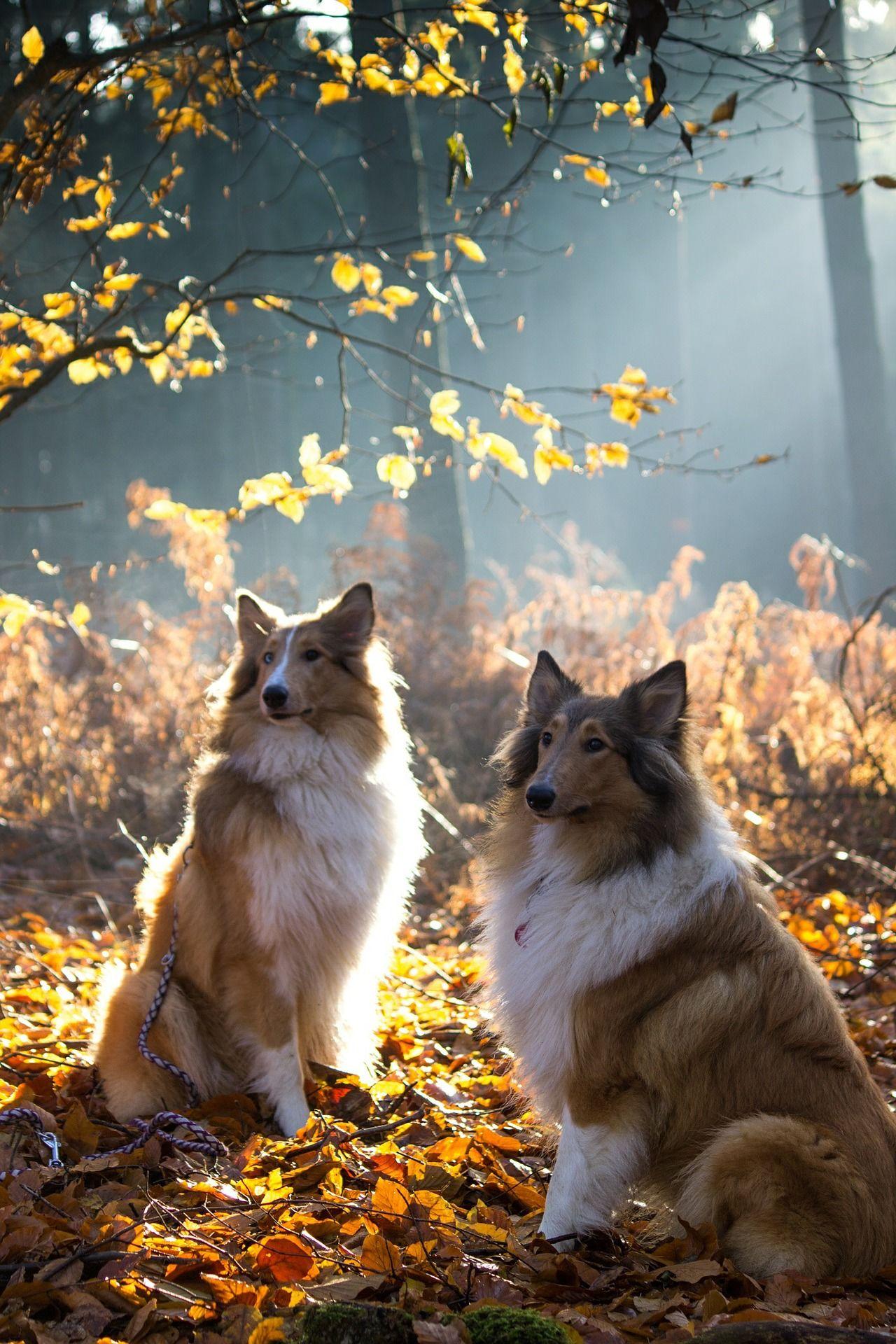 Порода собаки - колли