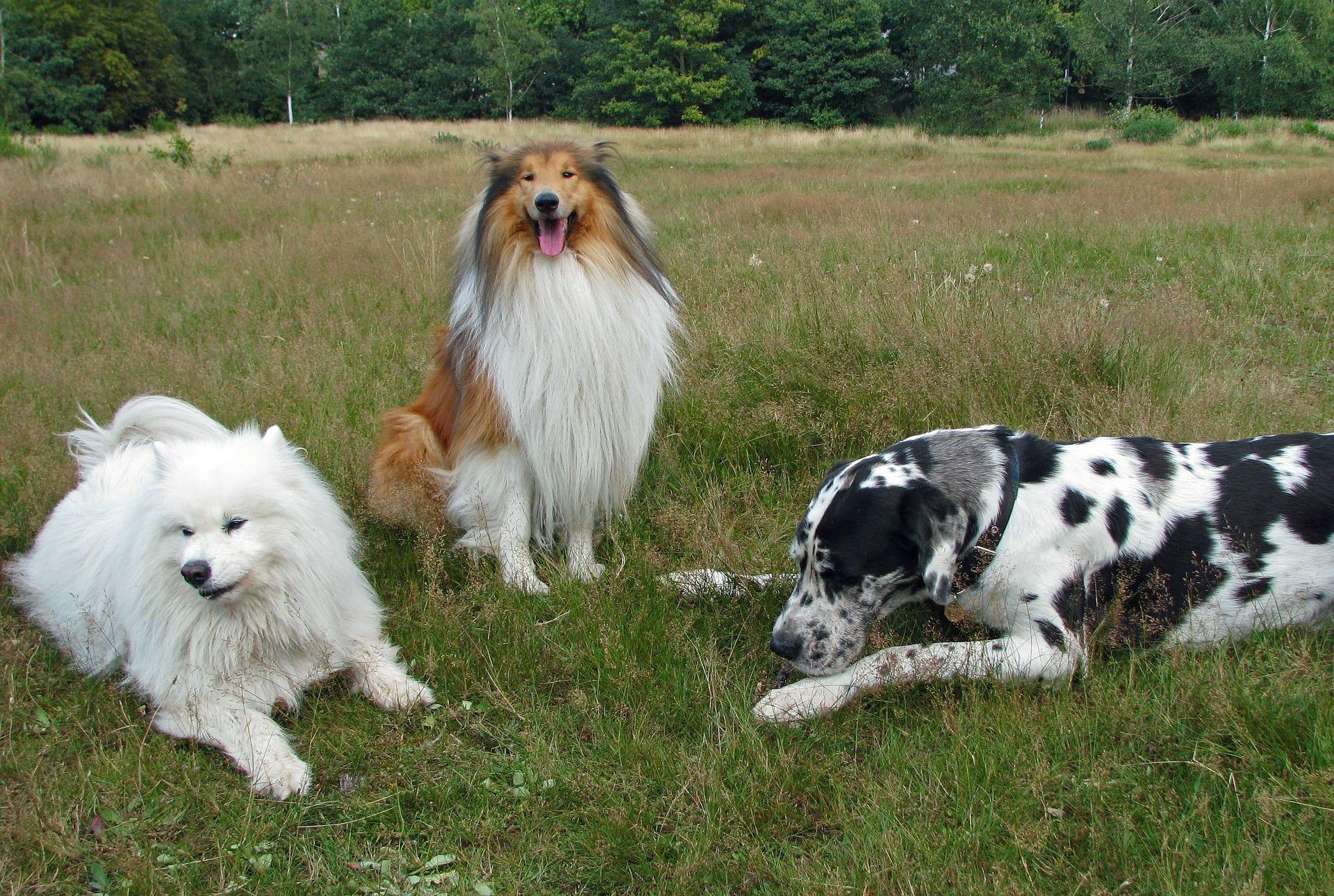 Щенок собаки породы колли шелти