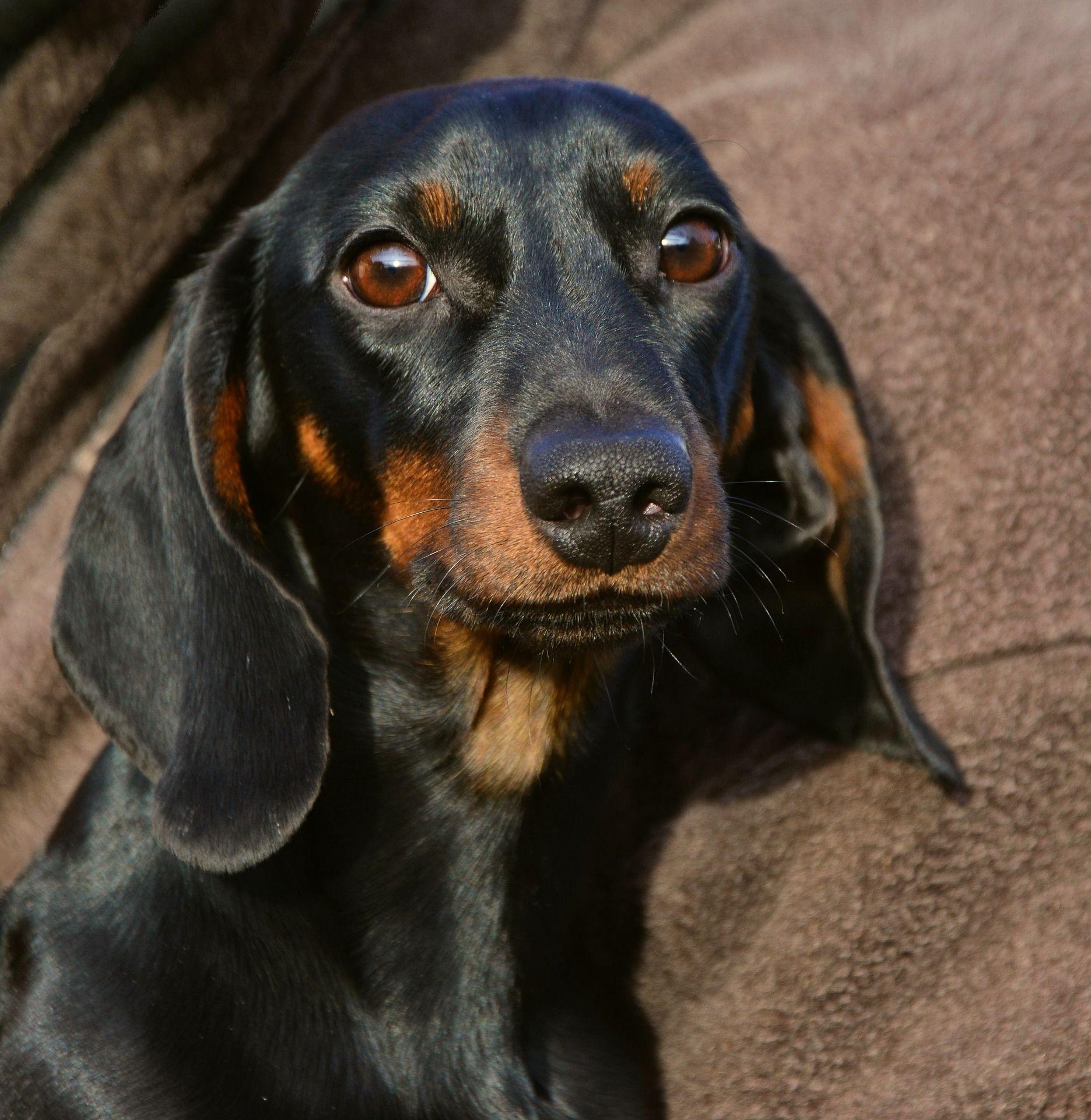 Лучшая собака маленьких пород - такса