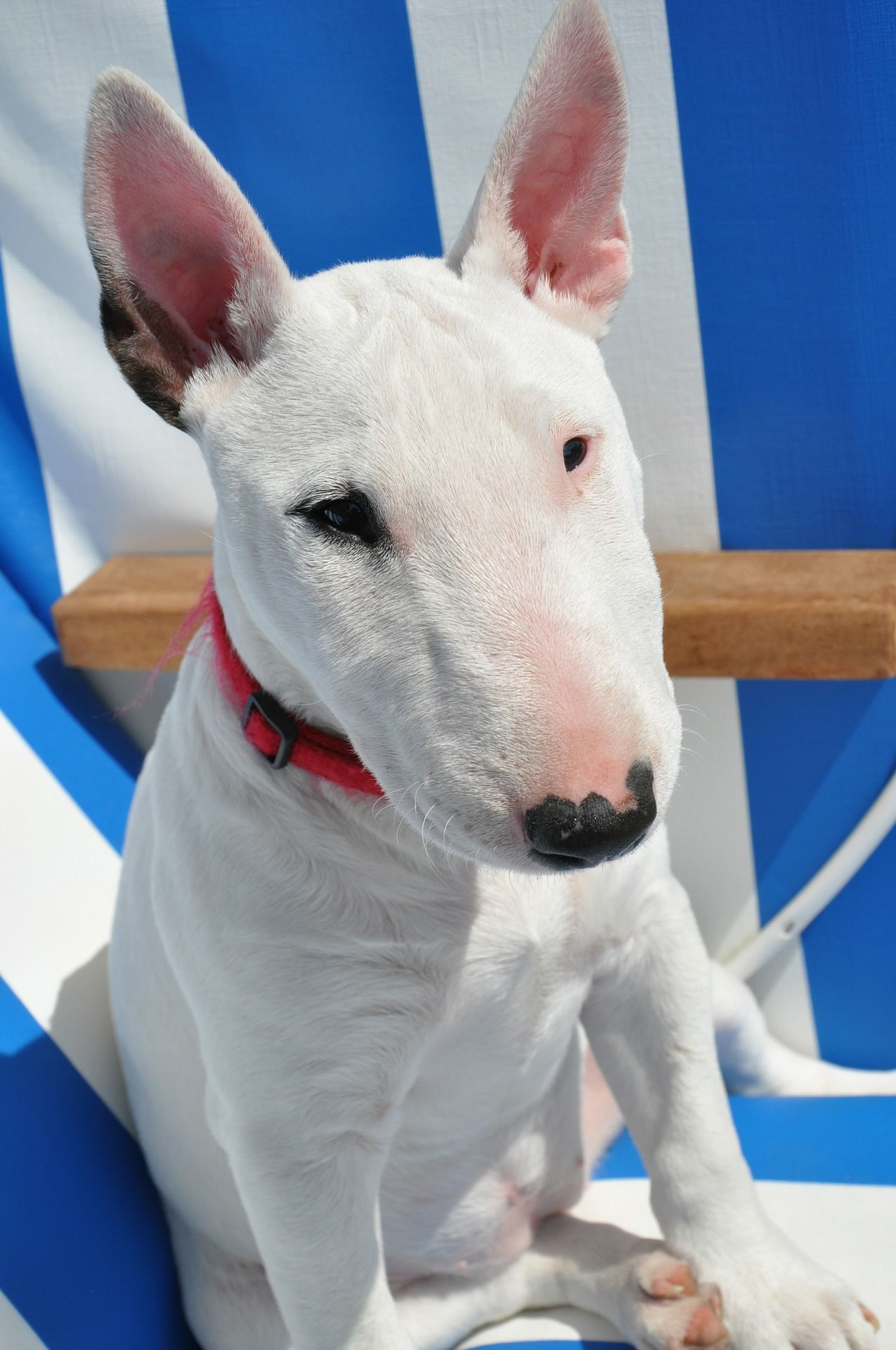 Собака бультерьер, фотографии