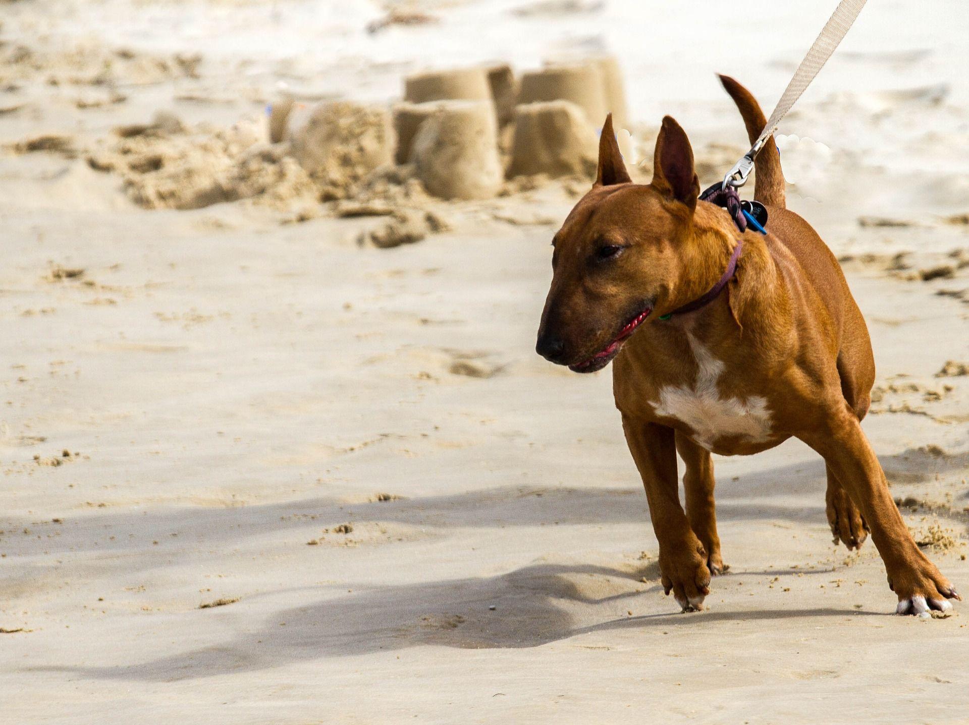 Фото собаки бультерьер