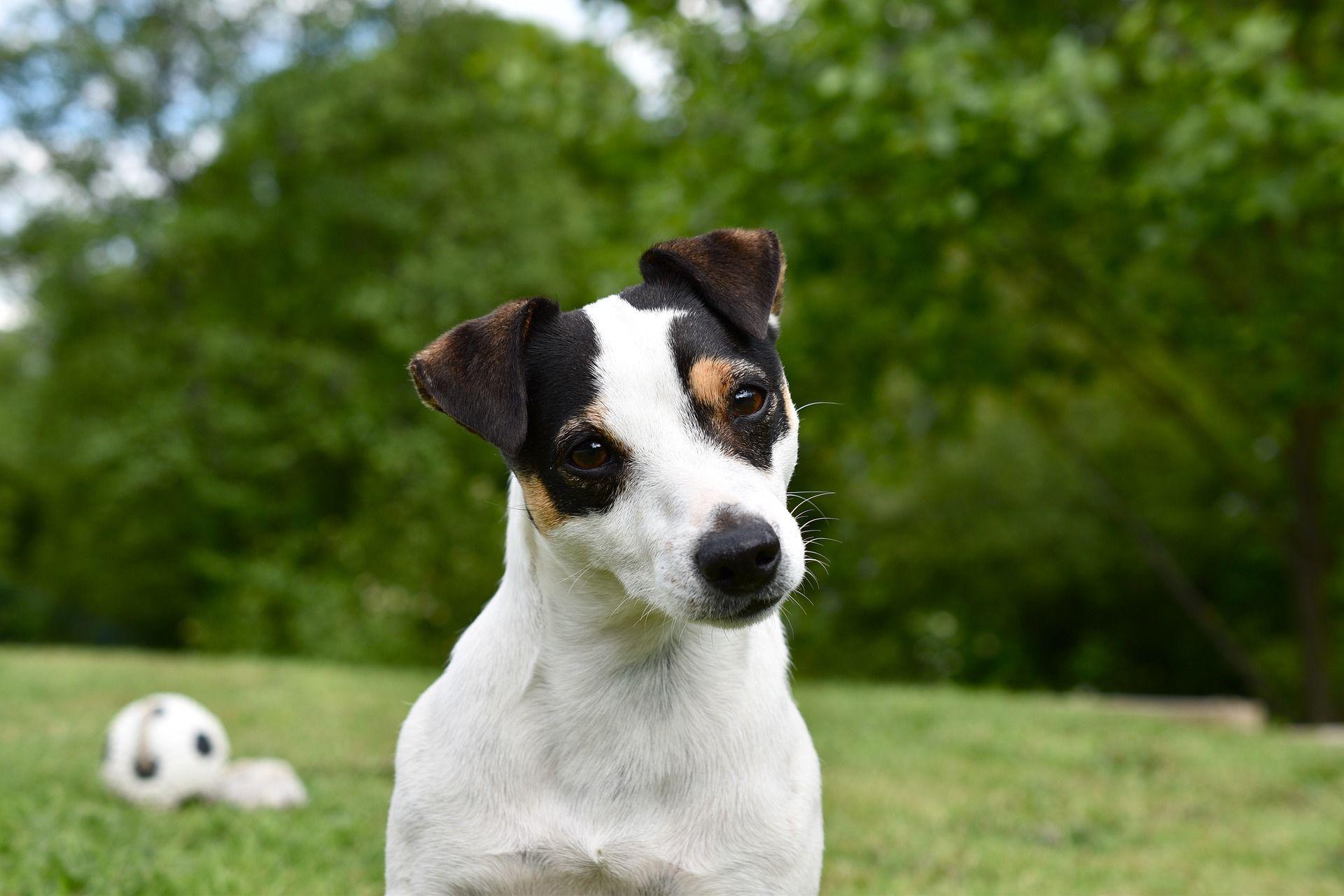 Лучшие фото собаки Джек рассел терьер