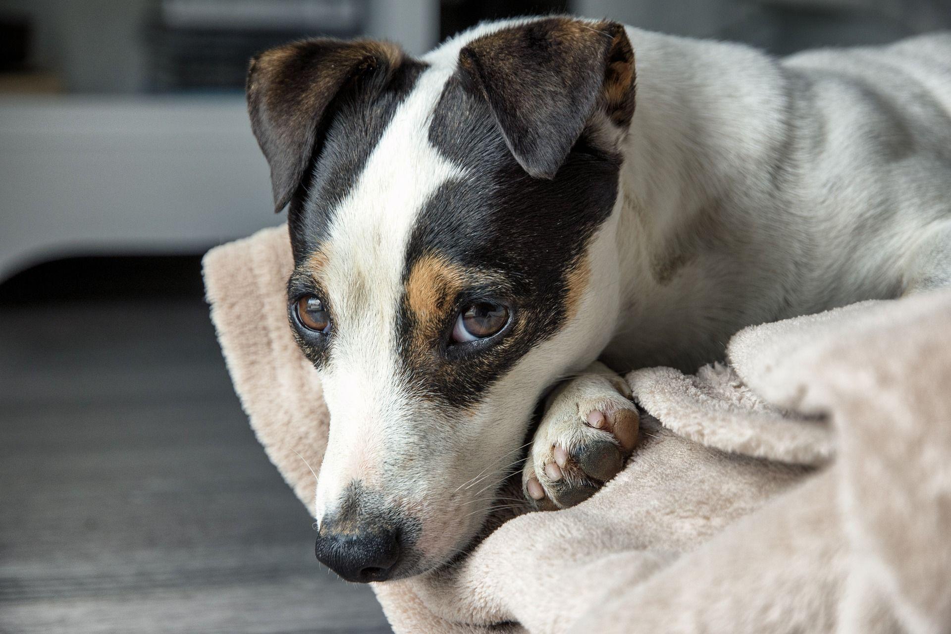 Лучшие фото собаки Джек рассел терьер фото мальчика