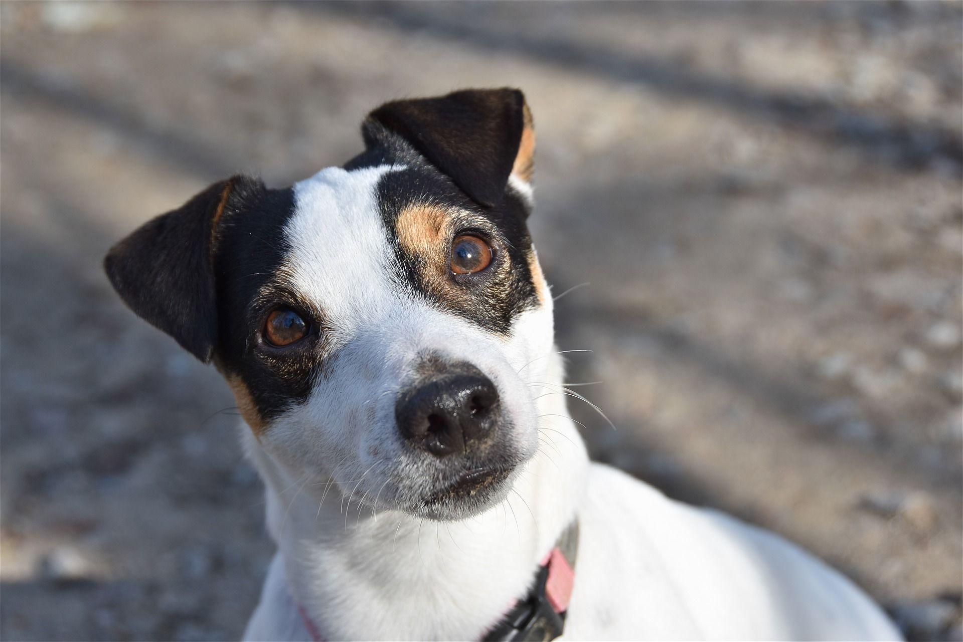 Фото собаки породы  Джек рассел терьер