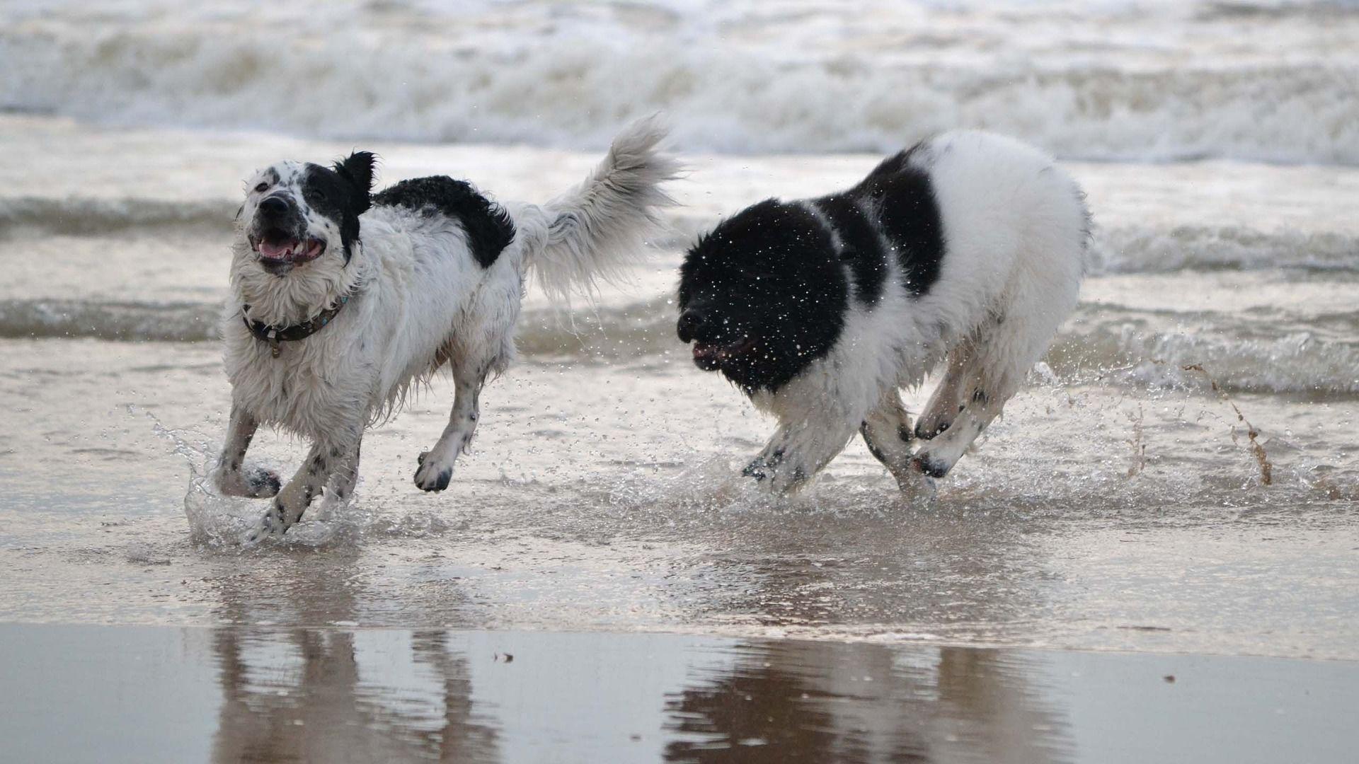 Фото собаки породы ньюфаундленд