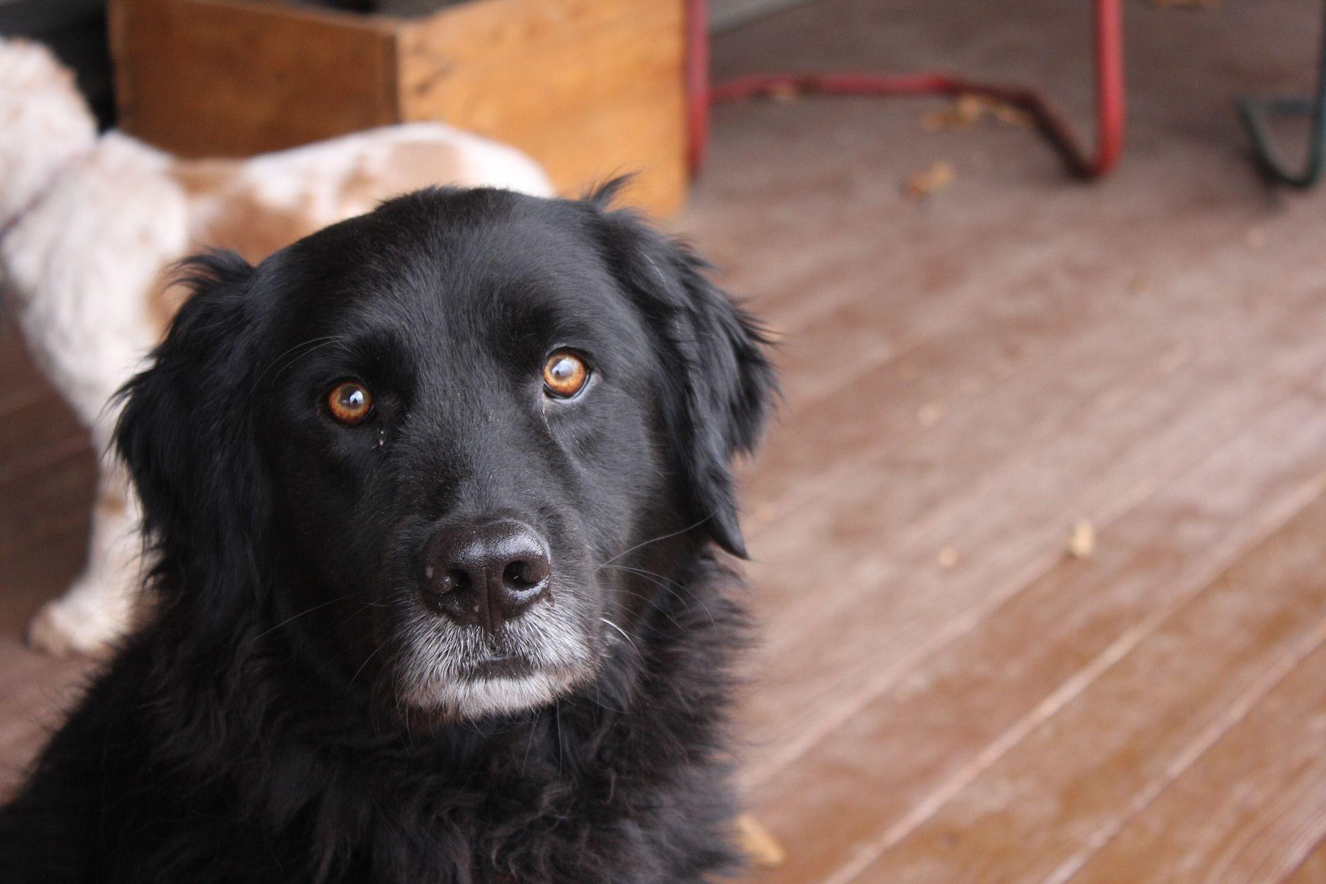 Фото щенка собаки породы ньюфаундленд