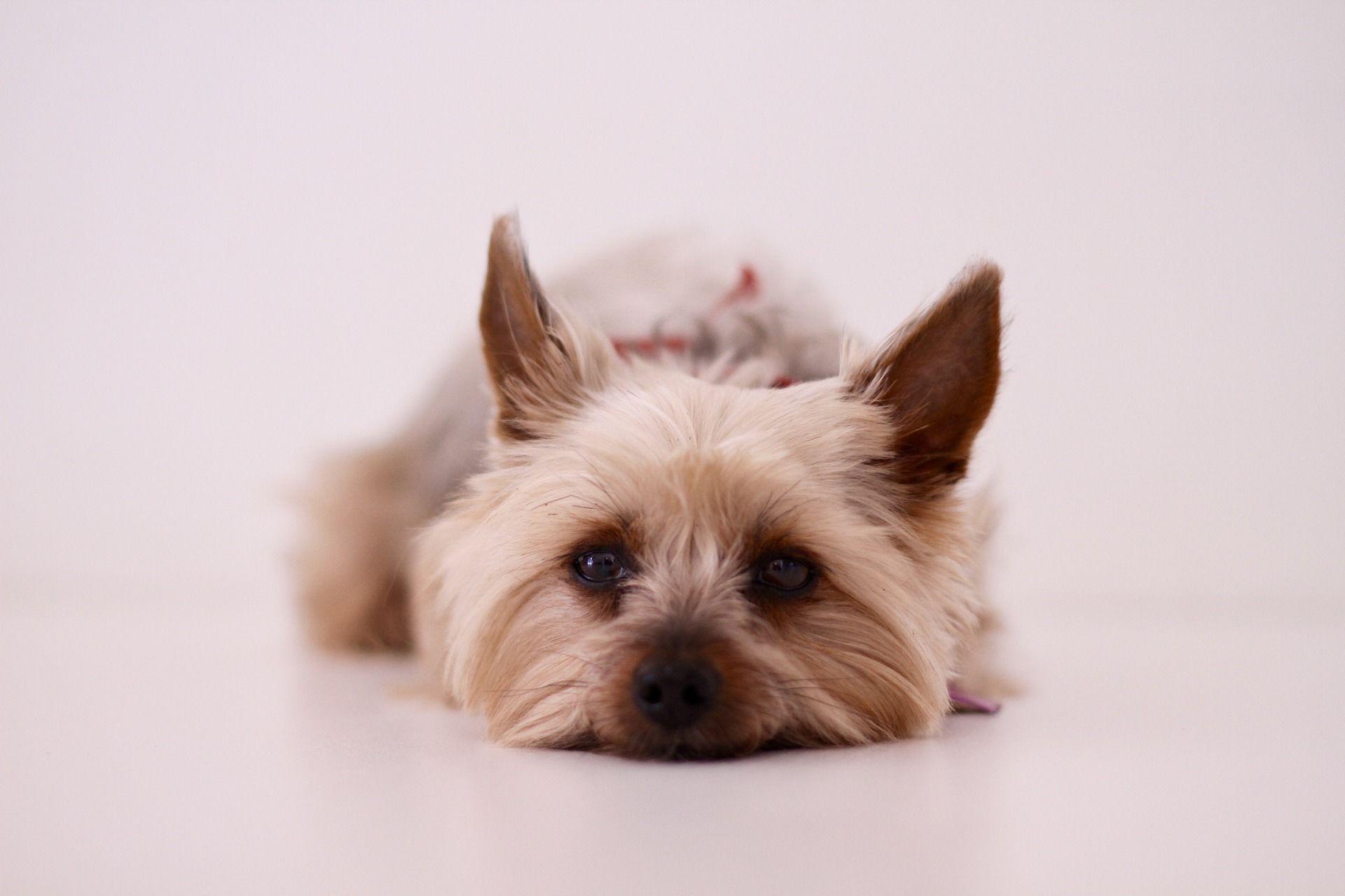 Собака йоркширский терьер, фото девочки
