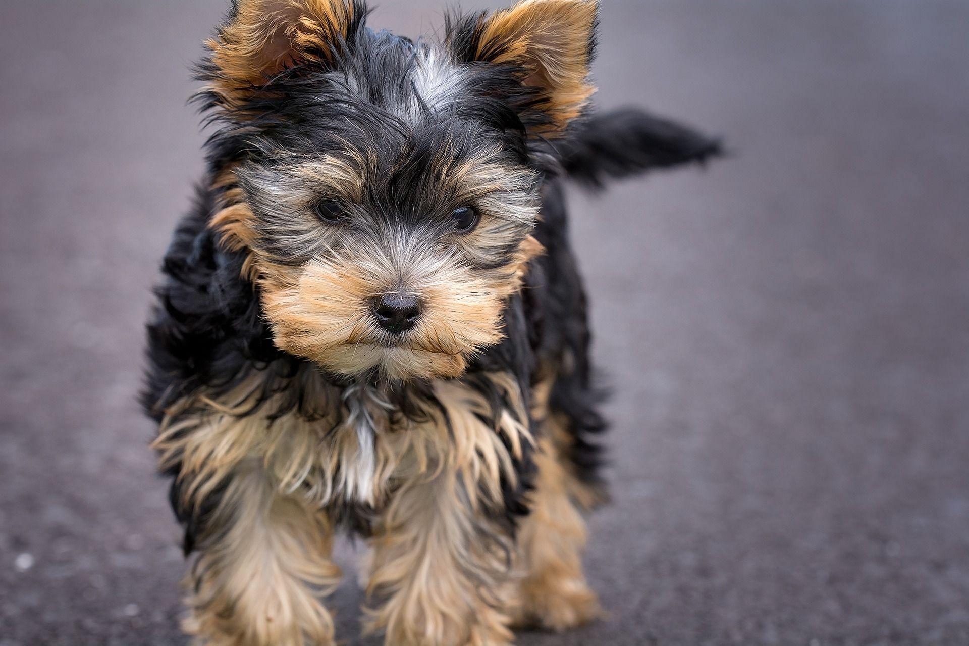 Собака йоркширский терьер, фото мальчика