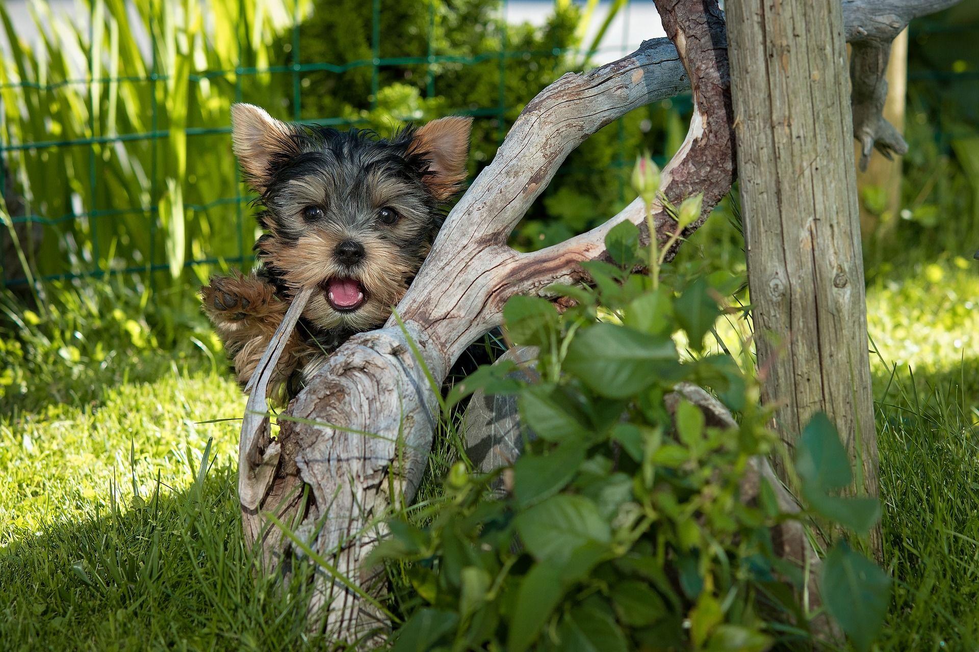 Фото щенков йоркширского терьера