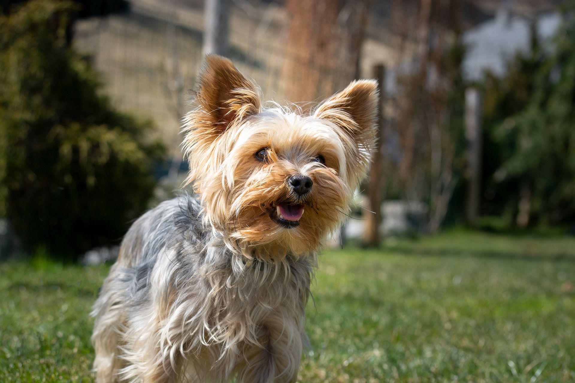 Фото собаки - йоркширский терьер
