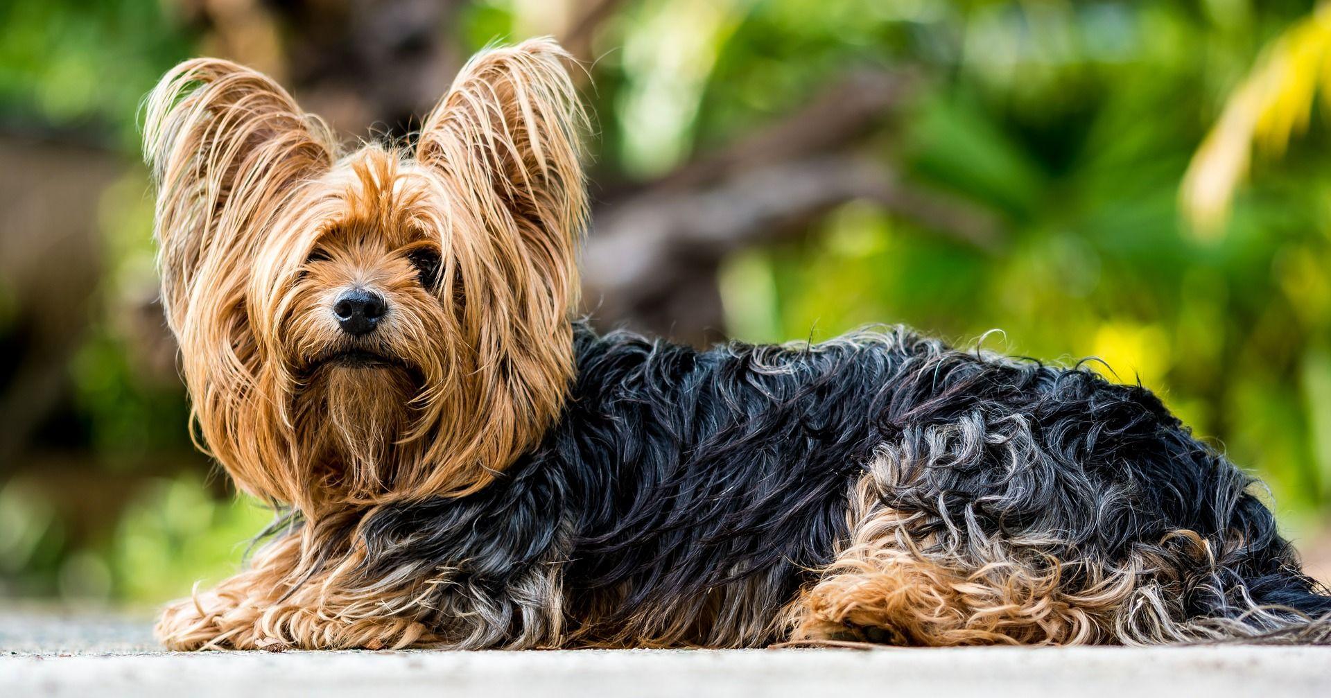 Фото собак породы йоркширский терьер