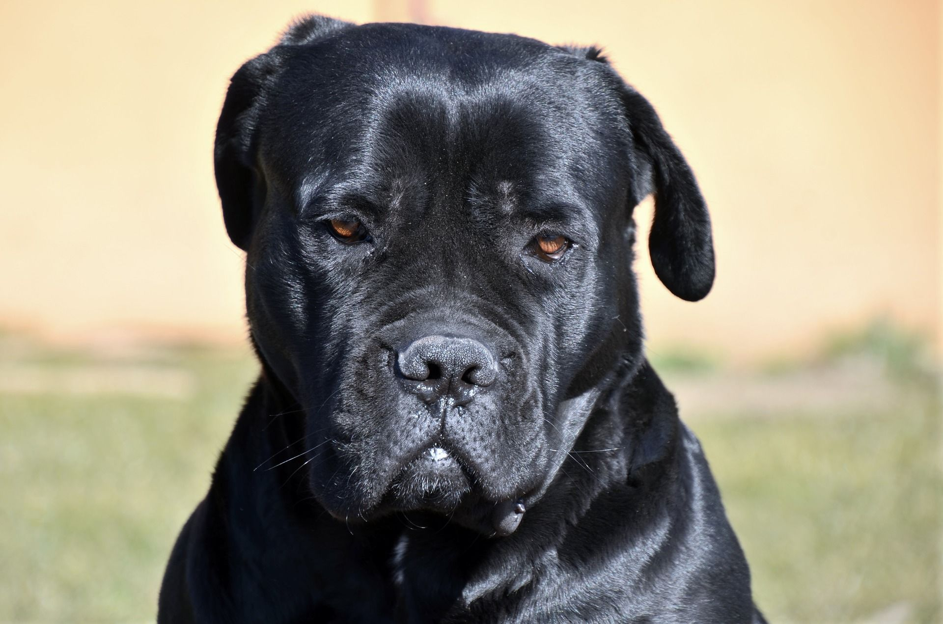 Собака кане корсо, фото
