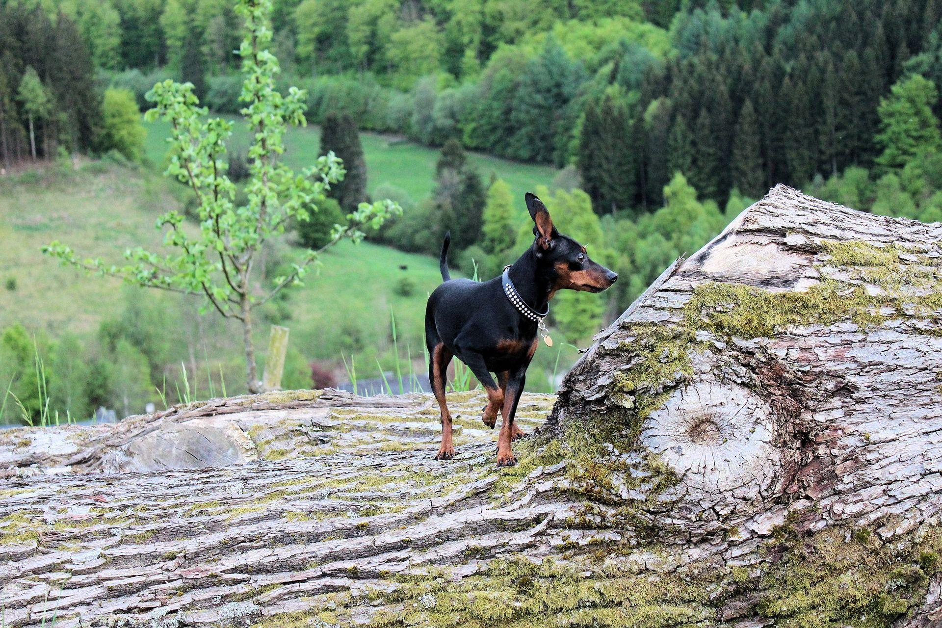 Собака мини пинчер