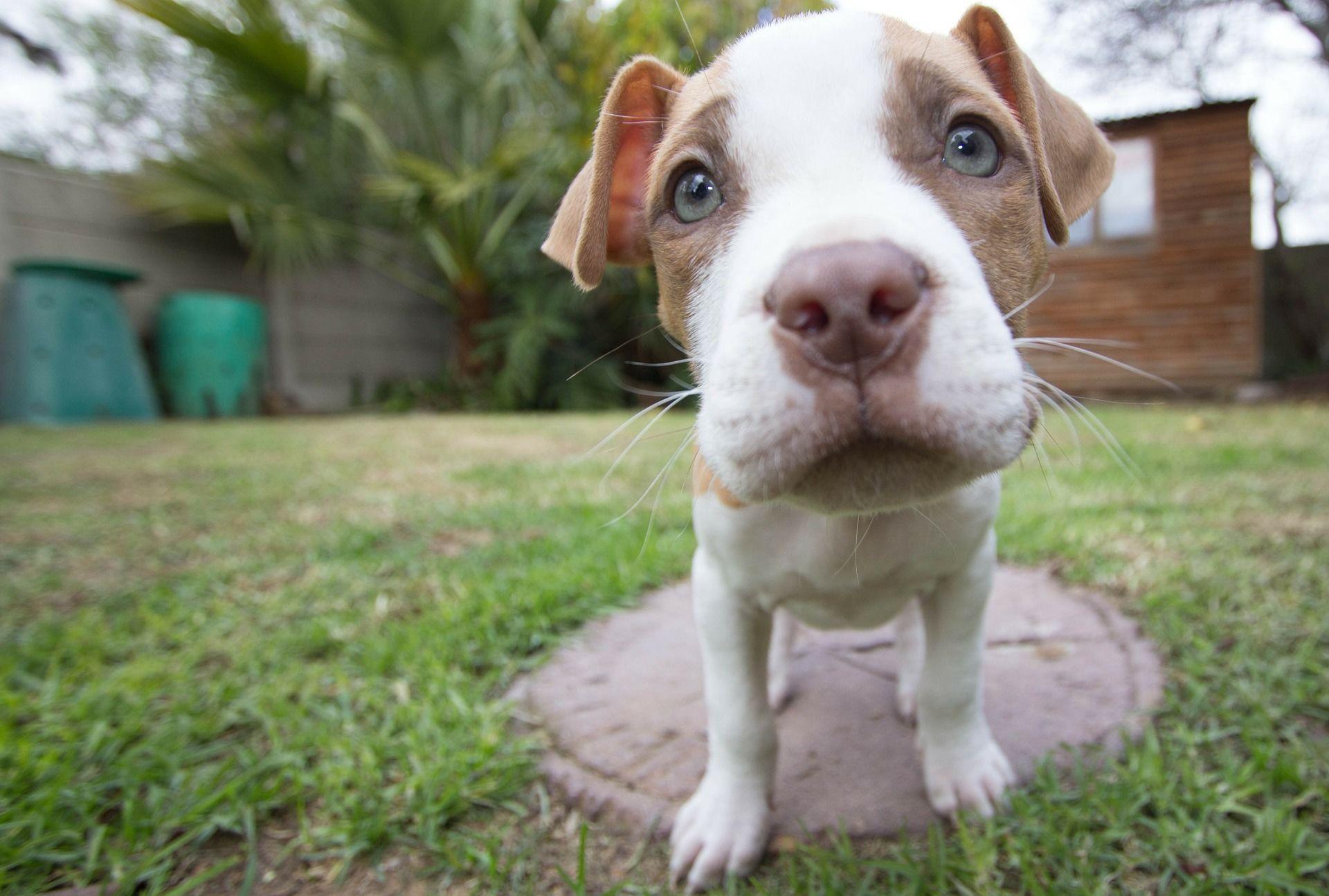 Скачать фото собак породы питбуль